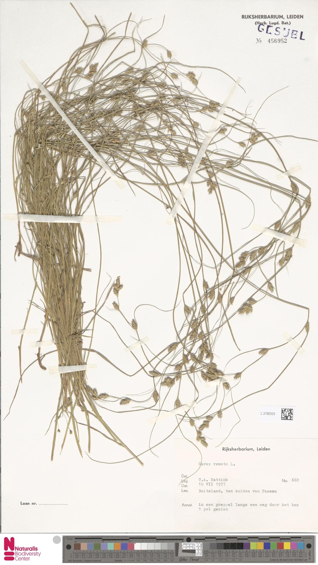 L.3780333 | Carex remota L.