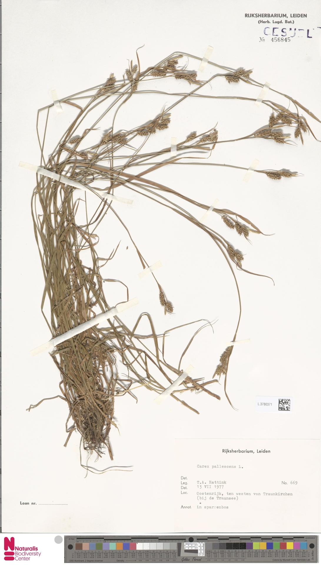 L.3780371 | Carex pallescens L.