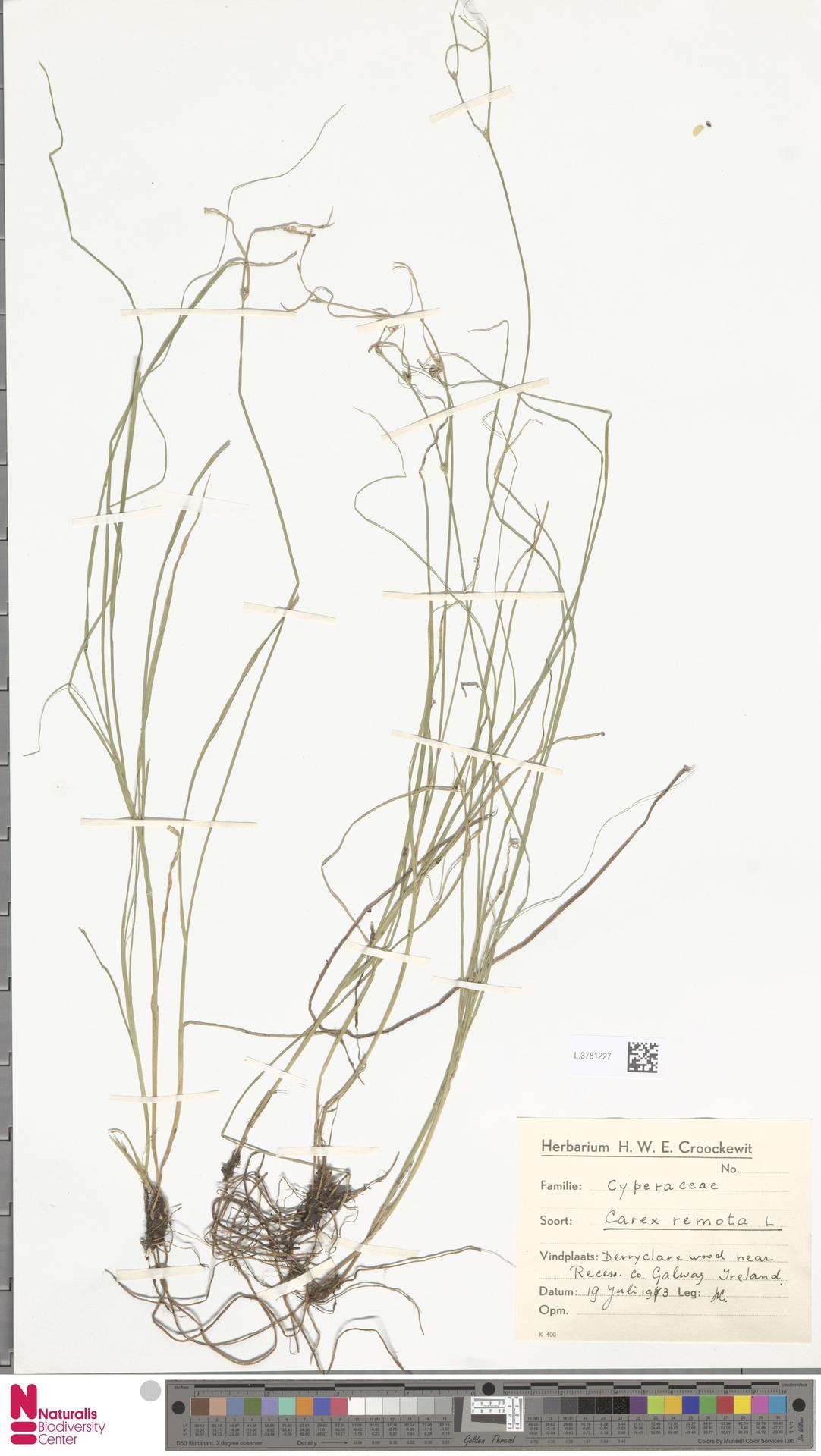 L.3781227   Carex remota L.
