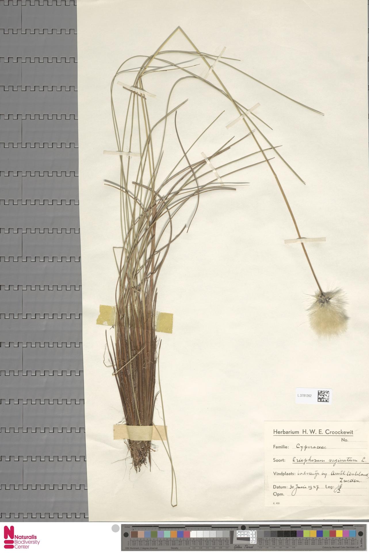 L.3781262 | Eriophorum vaginatum L.