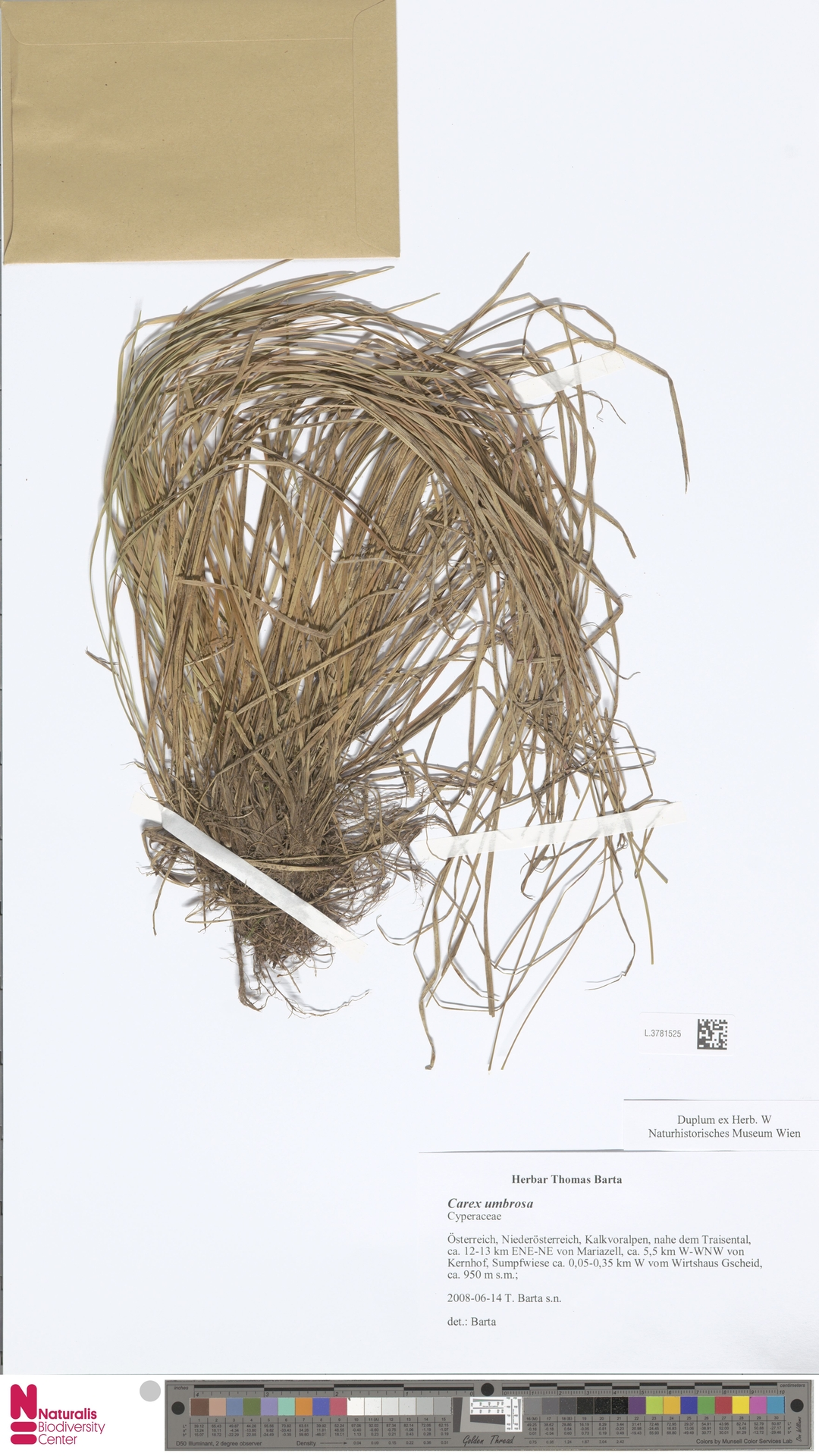 L.3781525   Carex umbrosa Host