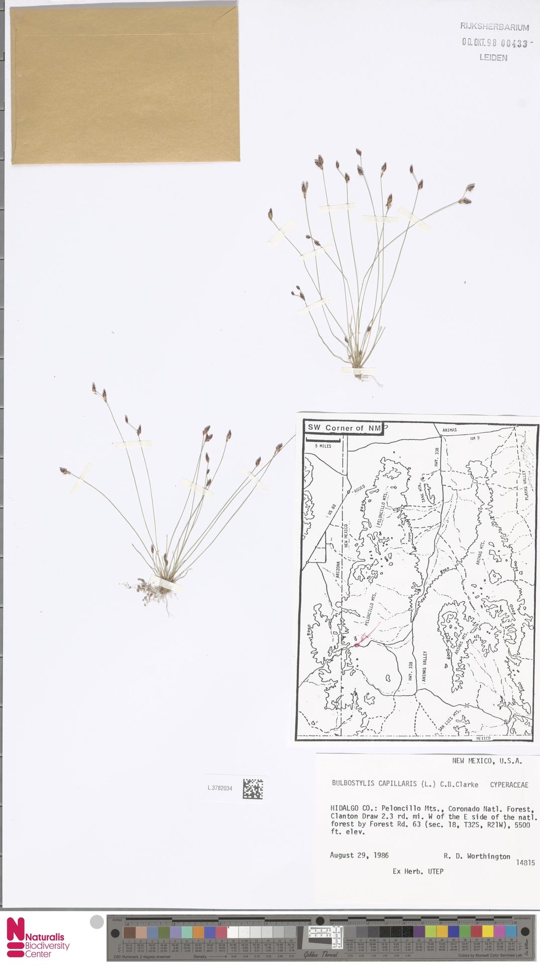 L.3782034 | Bulbostylis capillaris (L.) Kunth ex C.B.Clarke