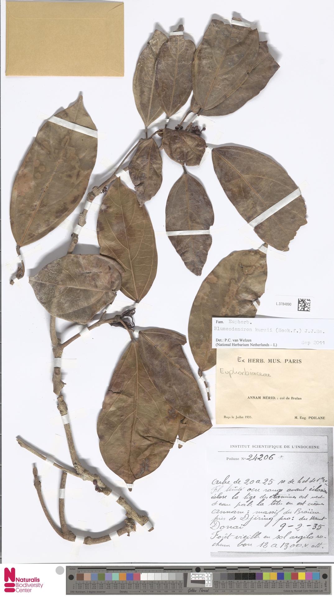 L.3784890 | Blumeodendron kurzii (Hook.f.) J.J.Sm.