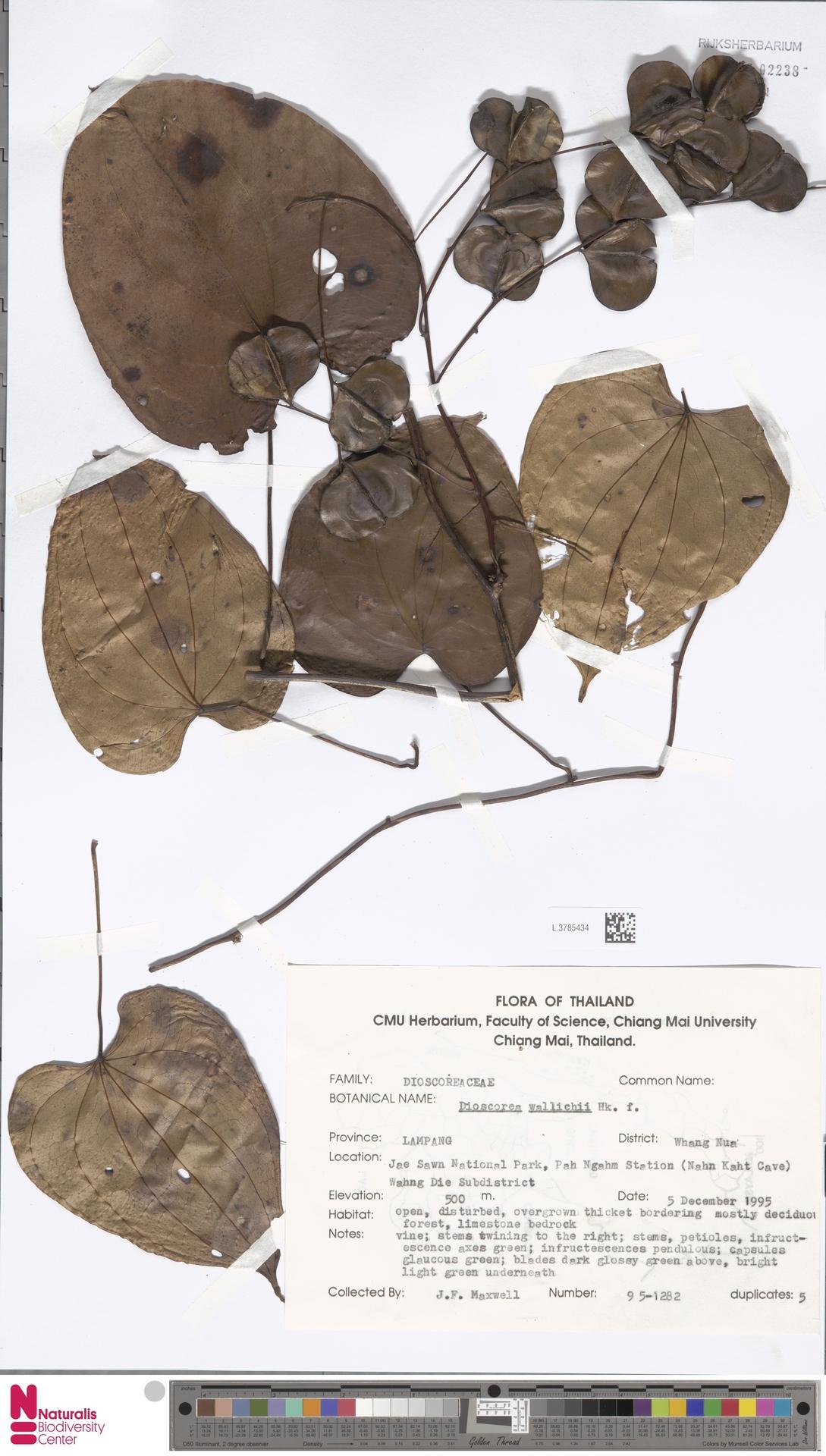 L.3785434   Dioscorea wallichii Hook.f.