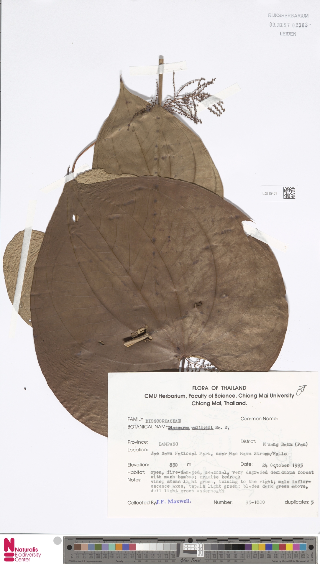 L.3785461 | Dioscorea wallichii Hook.f.
