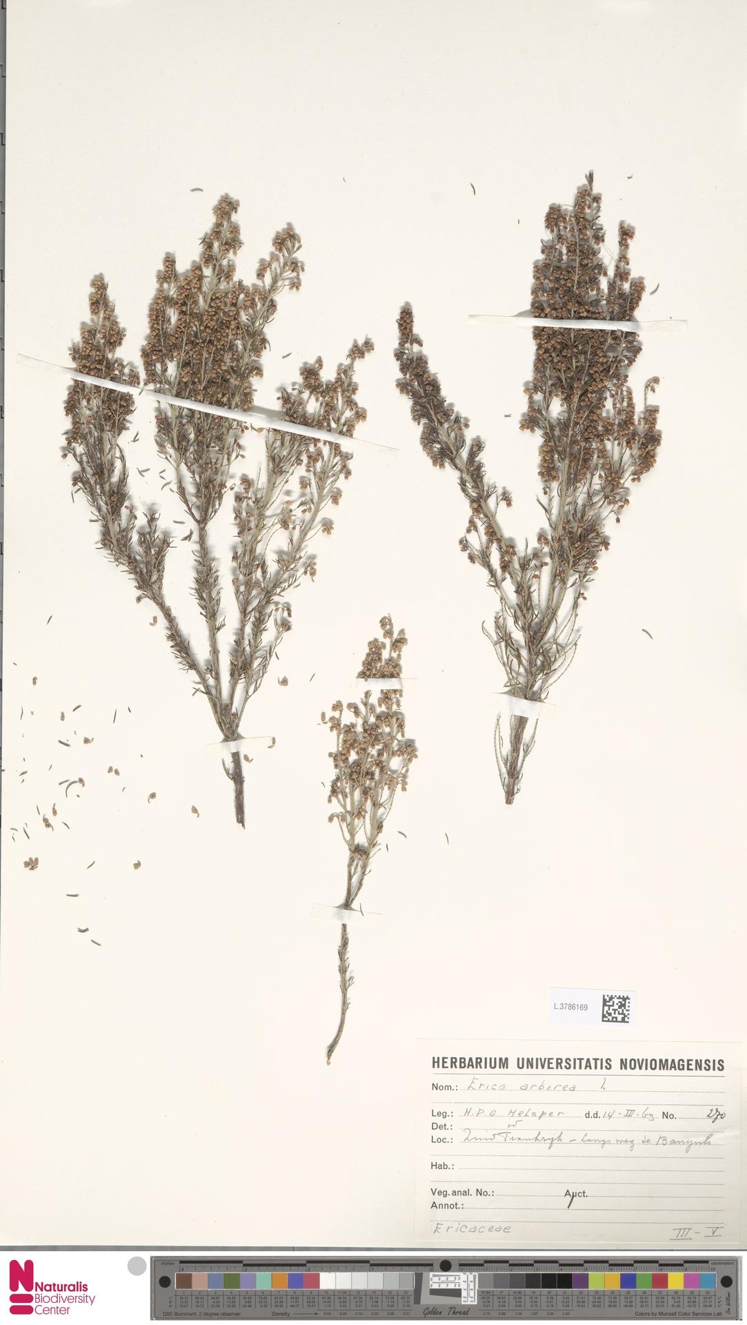 L.3786169 | Erica arborea L.
