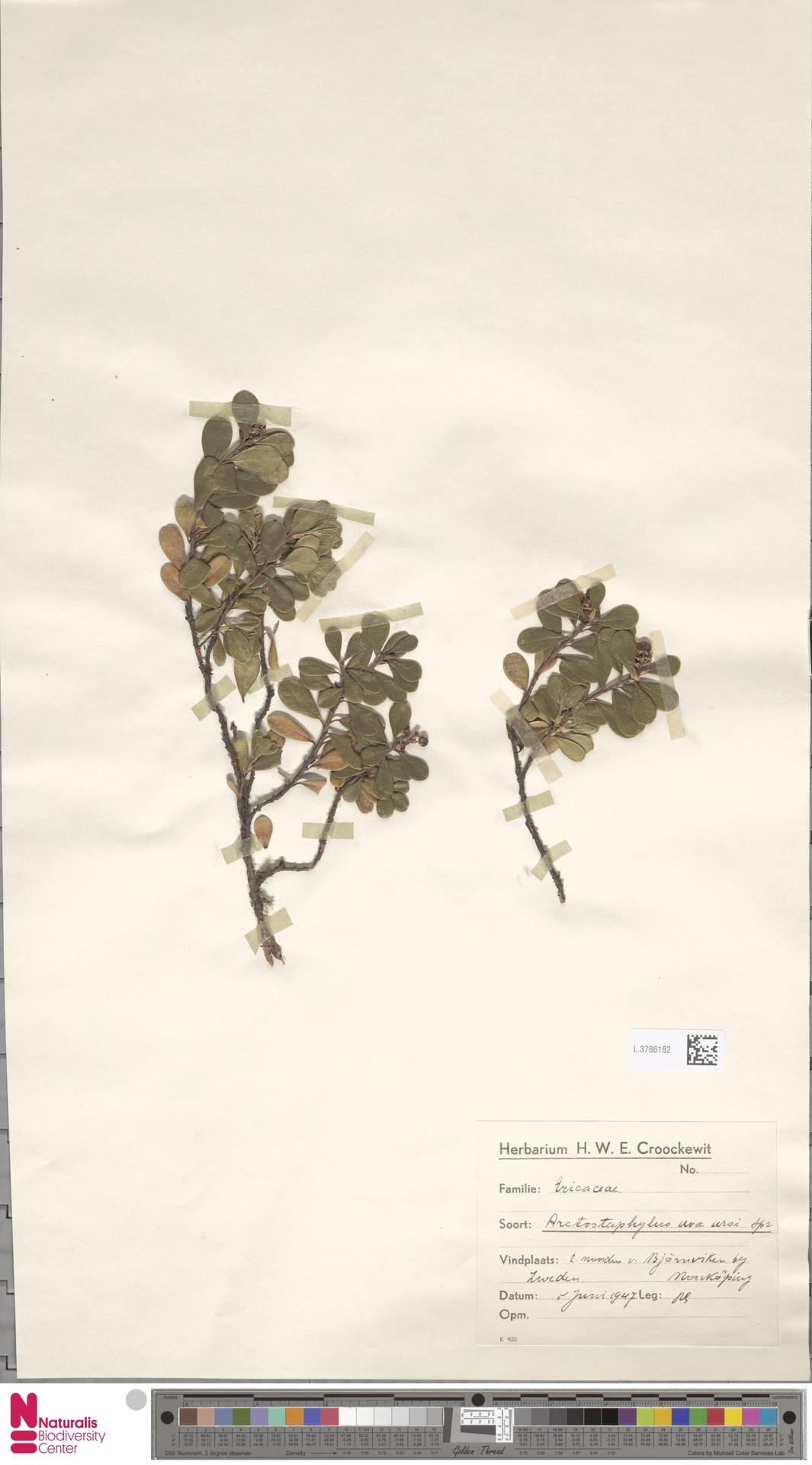 L.3786182 | Arctostaphylos uva-ursi (L.) Spreng.