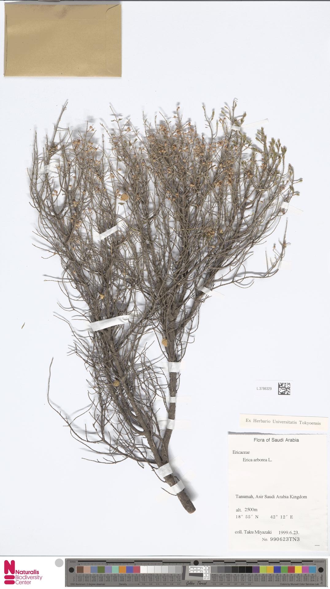 L.3786329 | Erica arborea L.