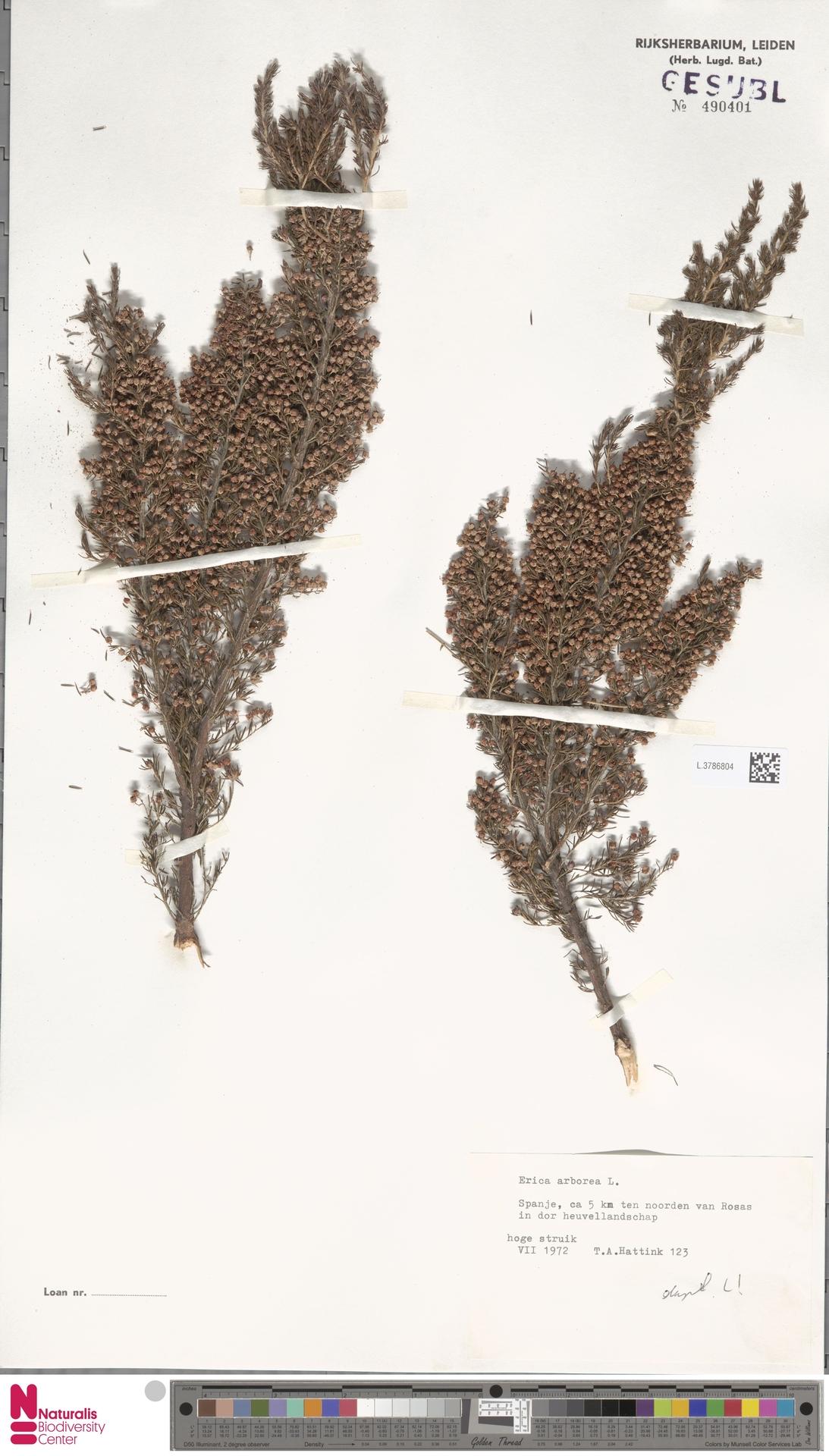 L.3786804 | Erica arborea L.