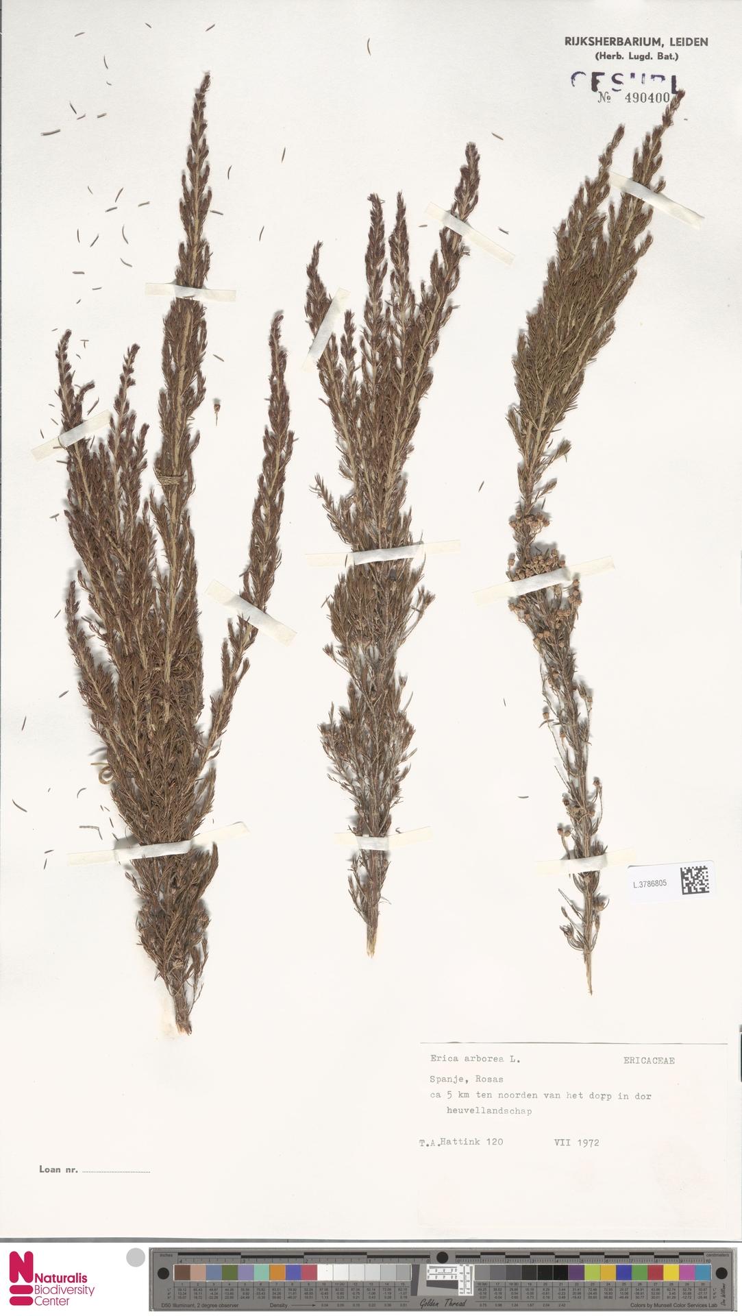 L.3786805 | Erica arborea L.