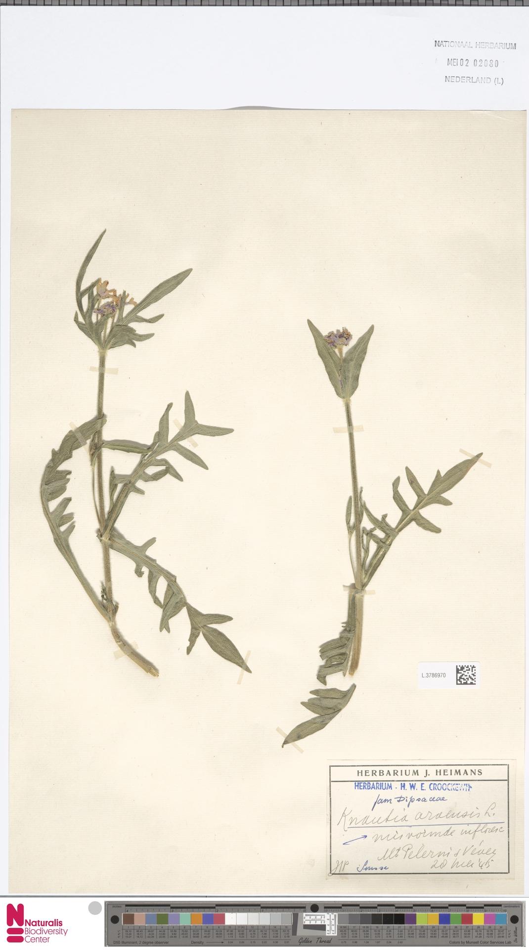 L.3786970 | Knautia arvensis (L.) Coult.