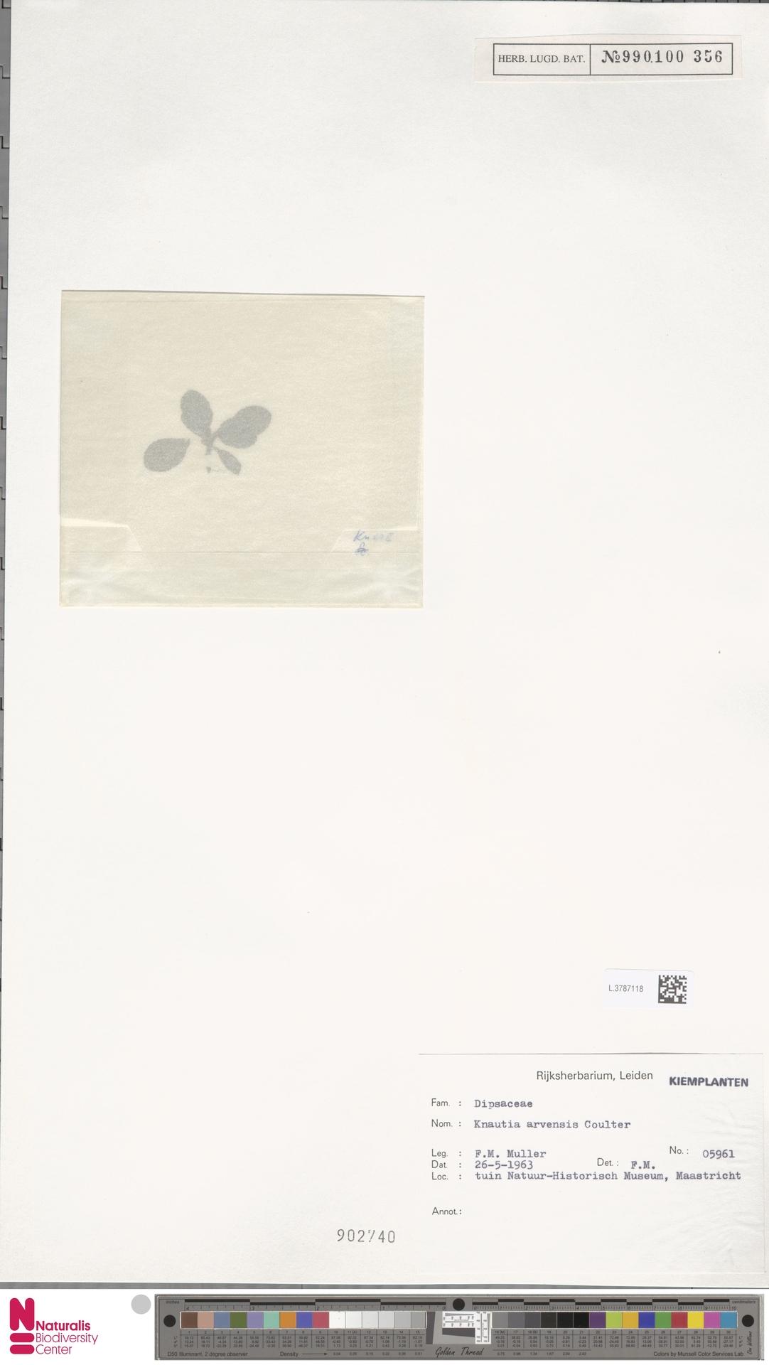 L.3787118 | Knautia arvensis (L.) Coult.