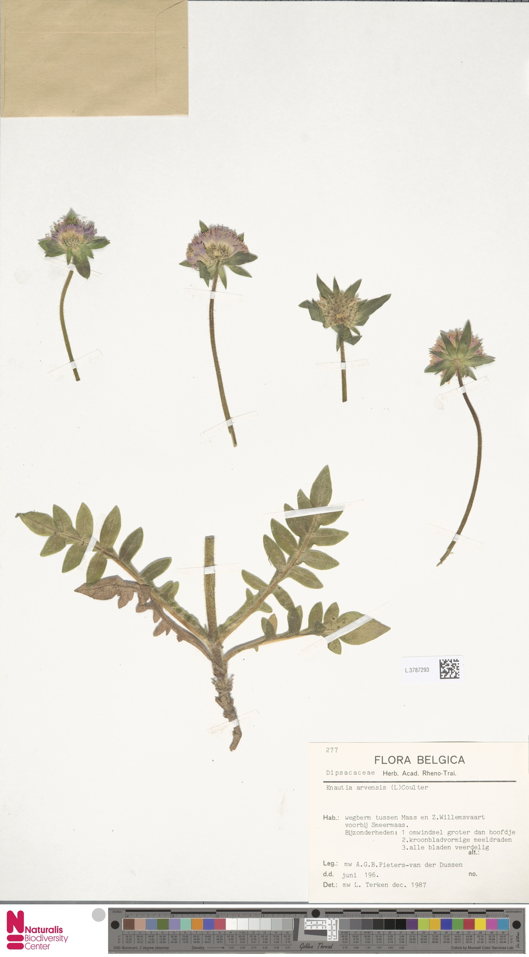 L.3787293 | Knautia arvensis (L.) Coult.