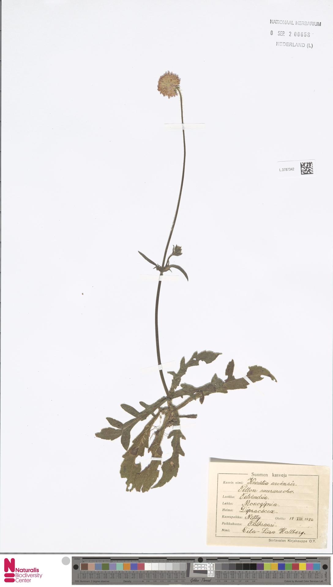 L.3787342   Knautia arvensis (L.) Coult.