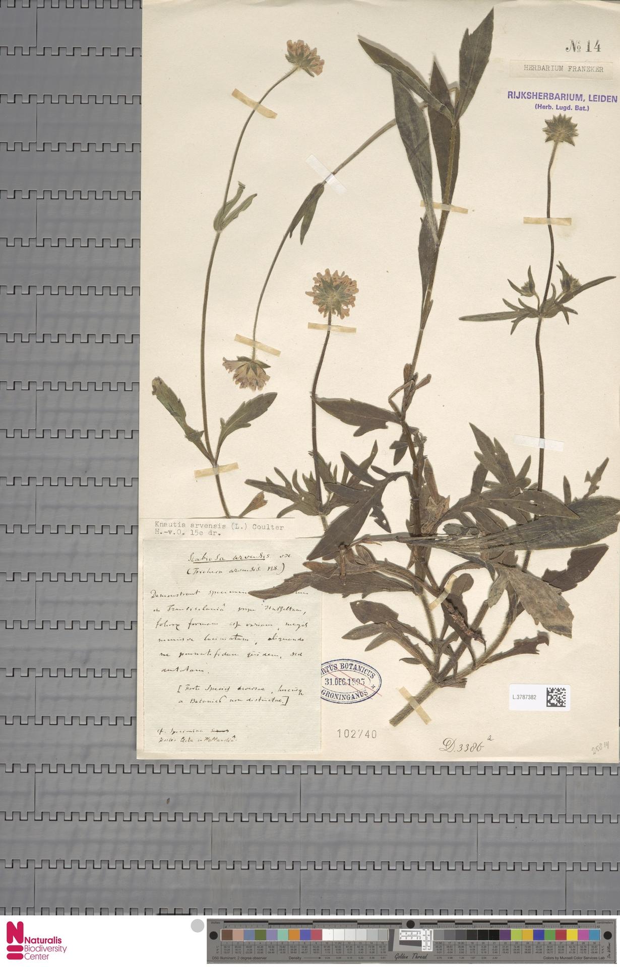 L.3787382 | Knautia arvensis (L.) Coult.