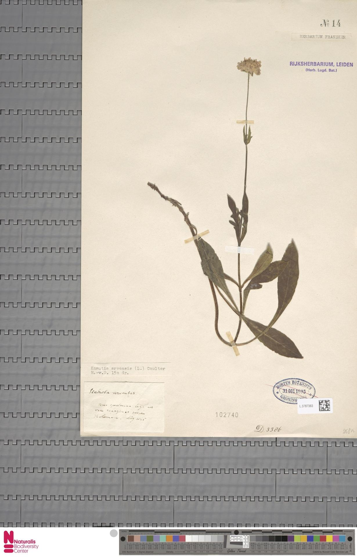 L.3787383 | Knautia arvensis (L.) Coult.