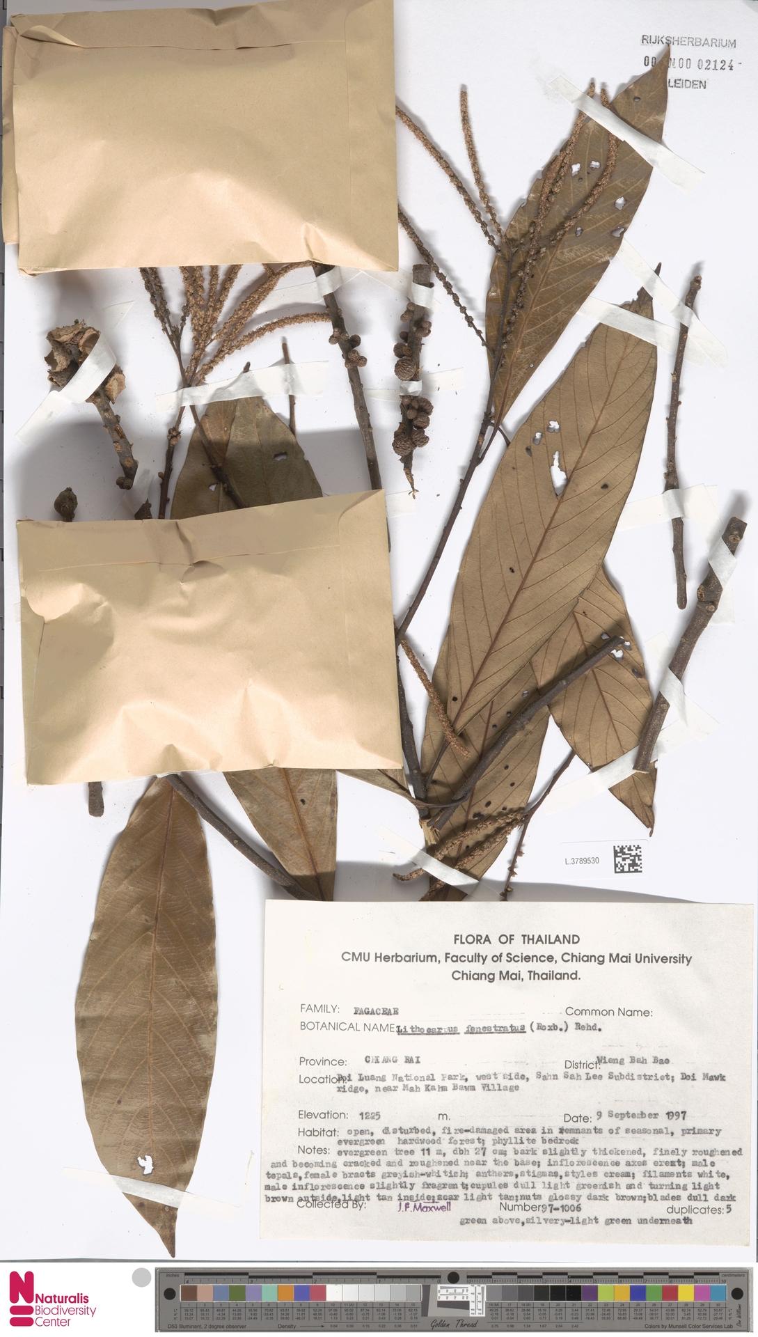 L.3789530 | Lithocarpus fenestratus (Roxb.) Rehder