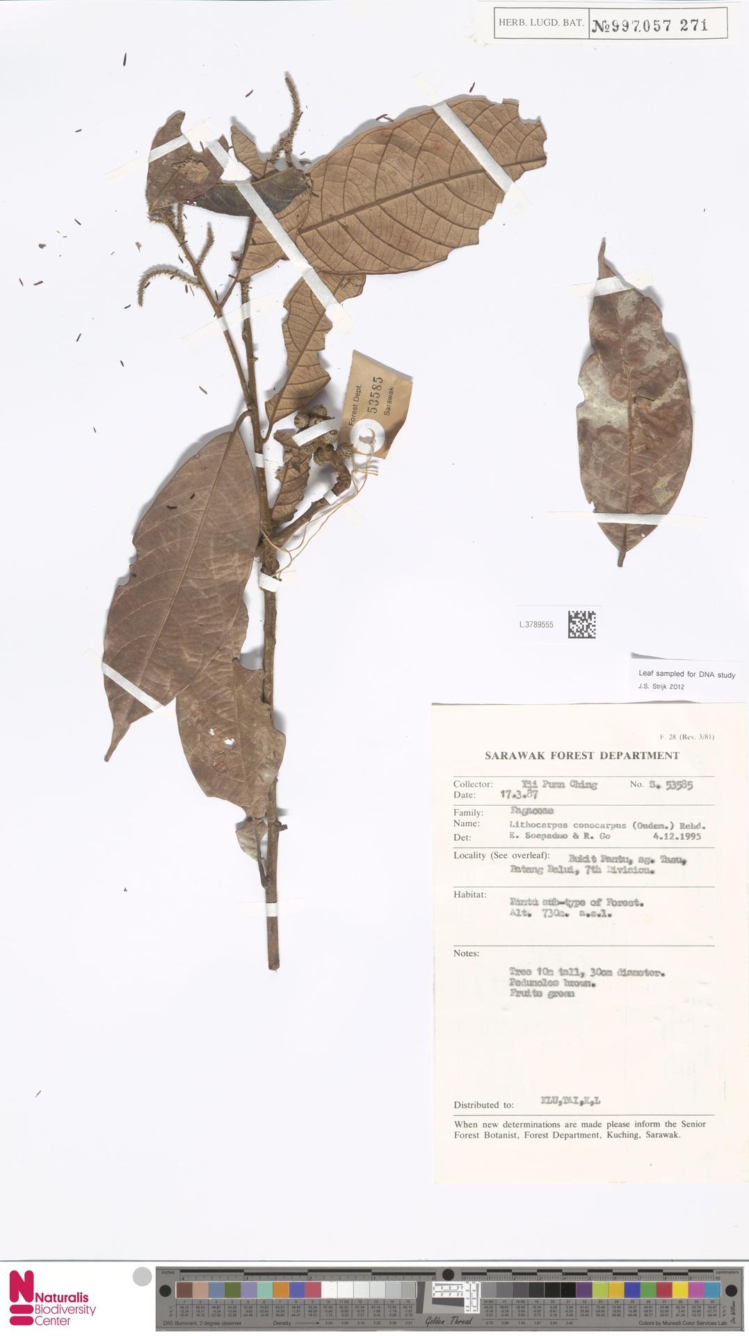 L.3789555   Lithocarpus conocarpus (Oudem.) Rehder