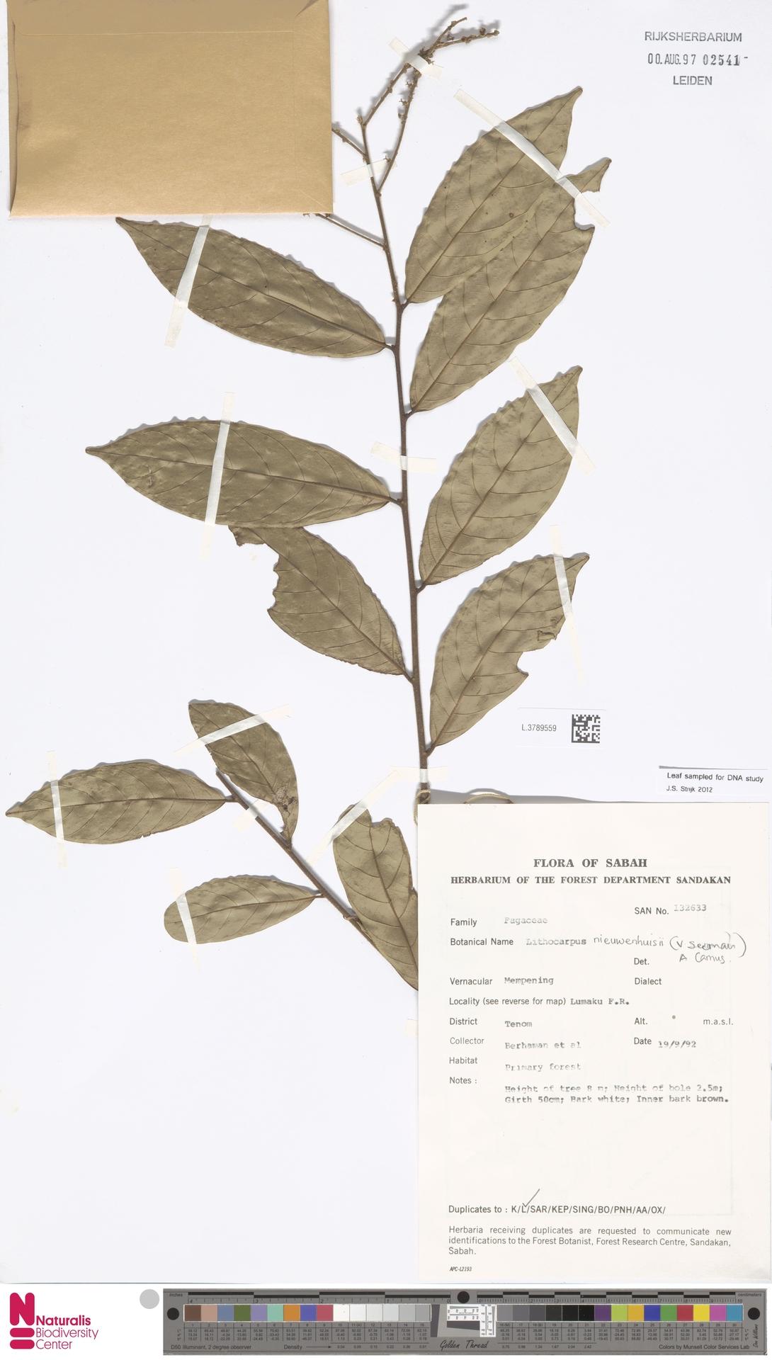 L.3789559 | Lithocarpus nieuwenhuisii (Seem.) A.Camus