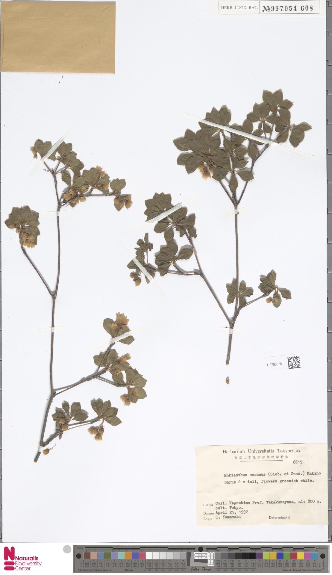 L.3790070   Enkianthus cernuus (Siebold & Zucc.) Makino