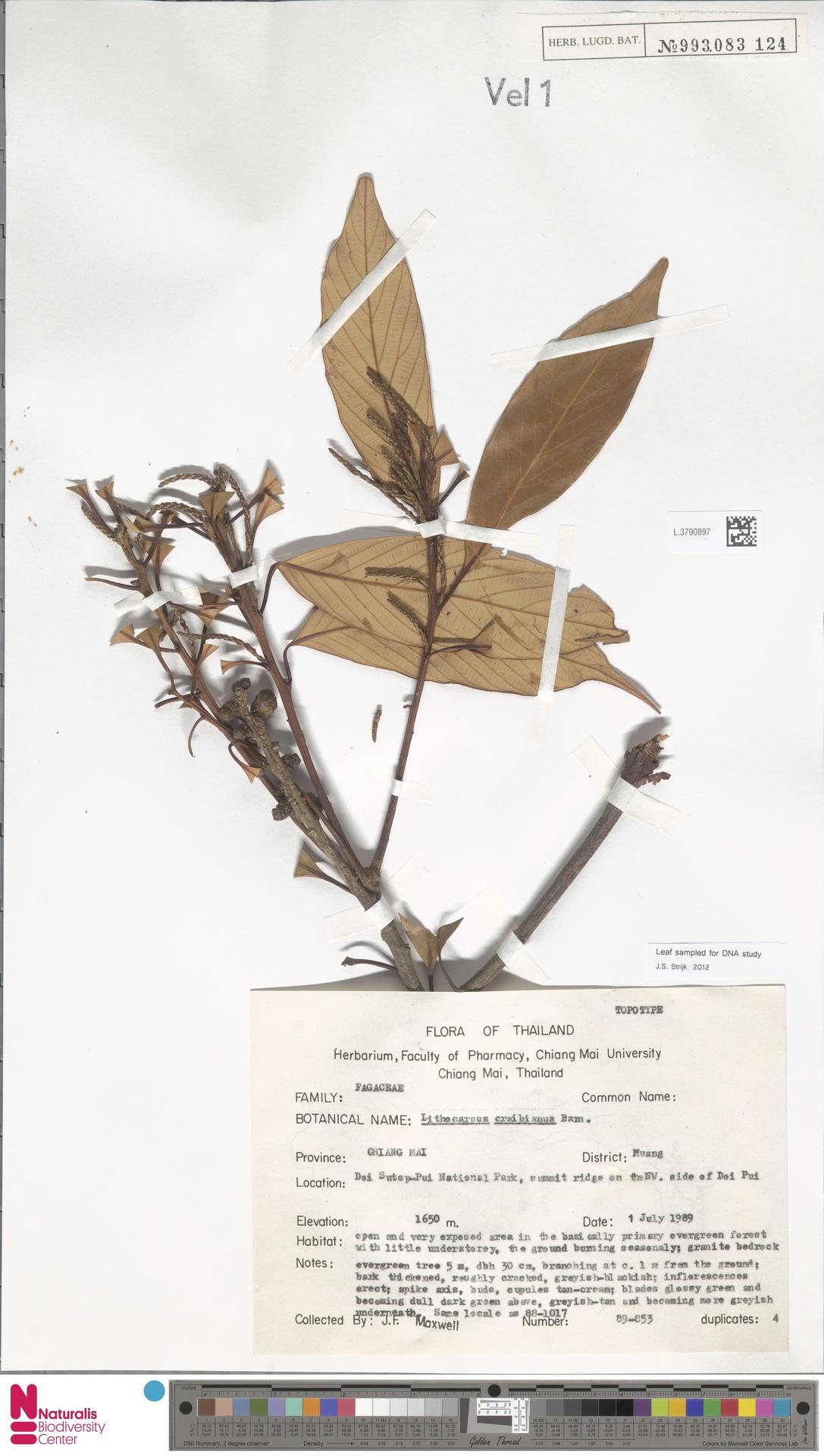 L.3790897   Lithocarpus craibianus Barnett