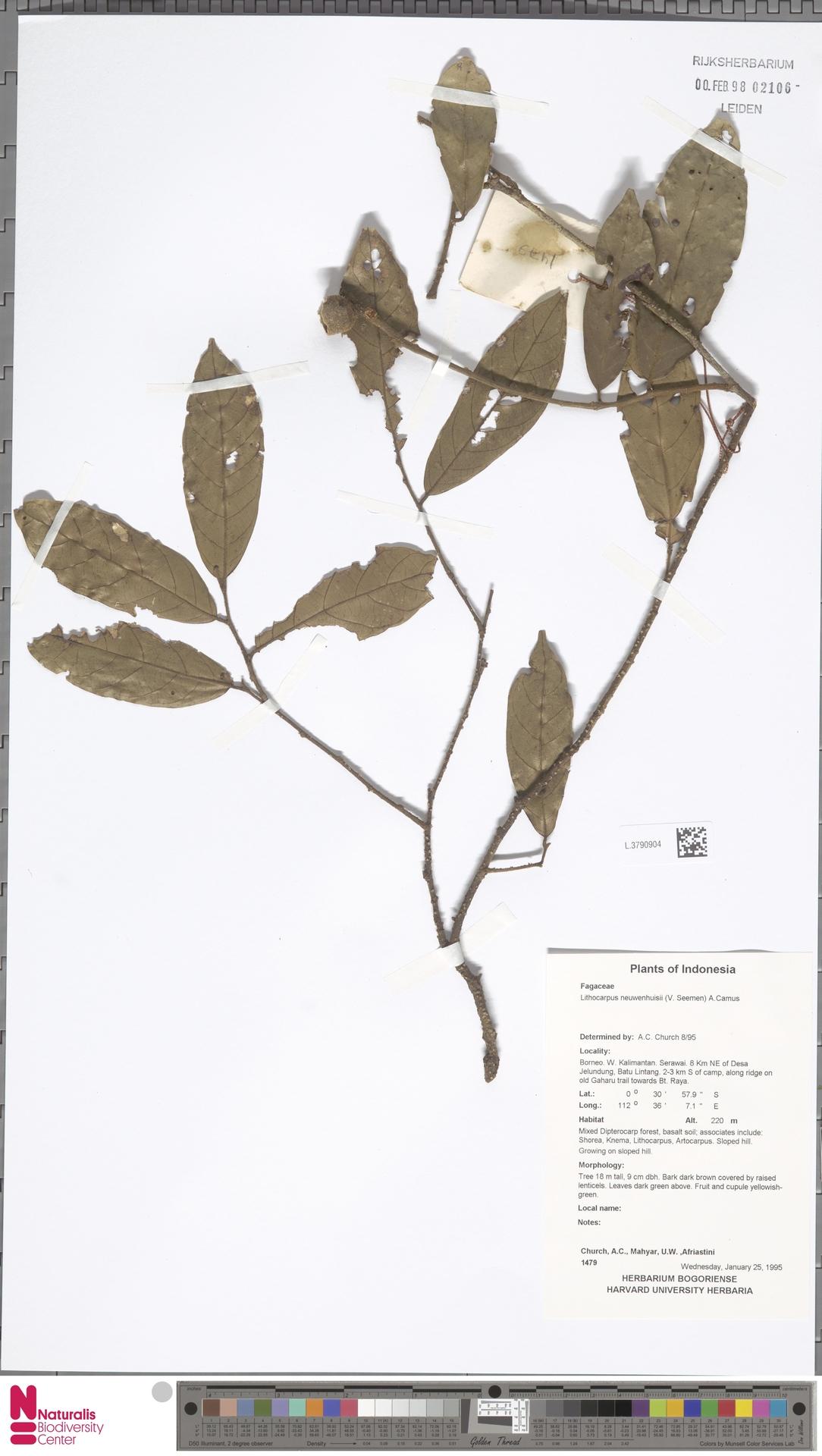 L.3790904   Lithocarpus nieuwenhuisii (Seem.) A.Camus
