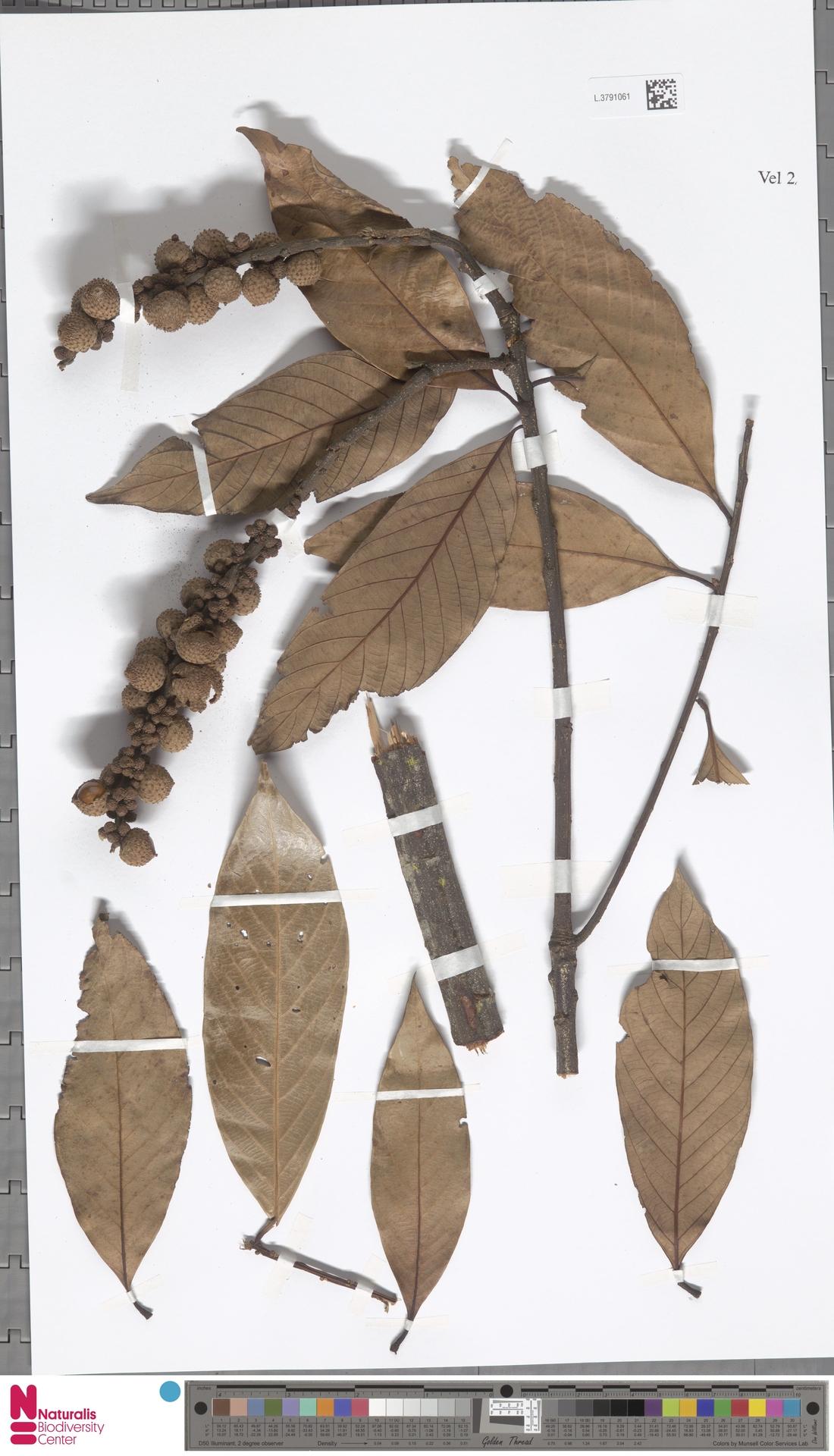 L.3791061 | Lithocarpus fenestratus (Roxb.) Rehder