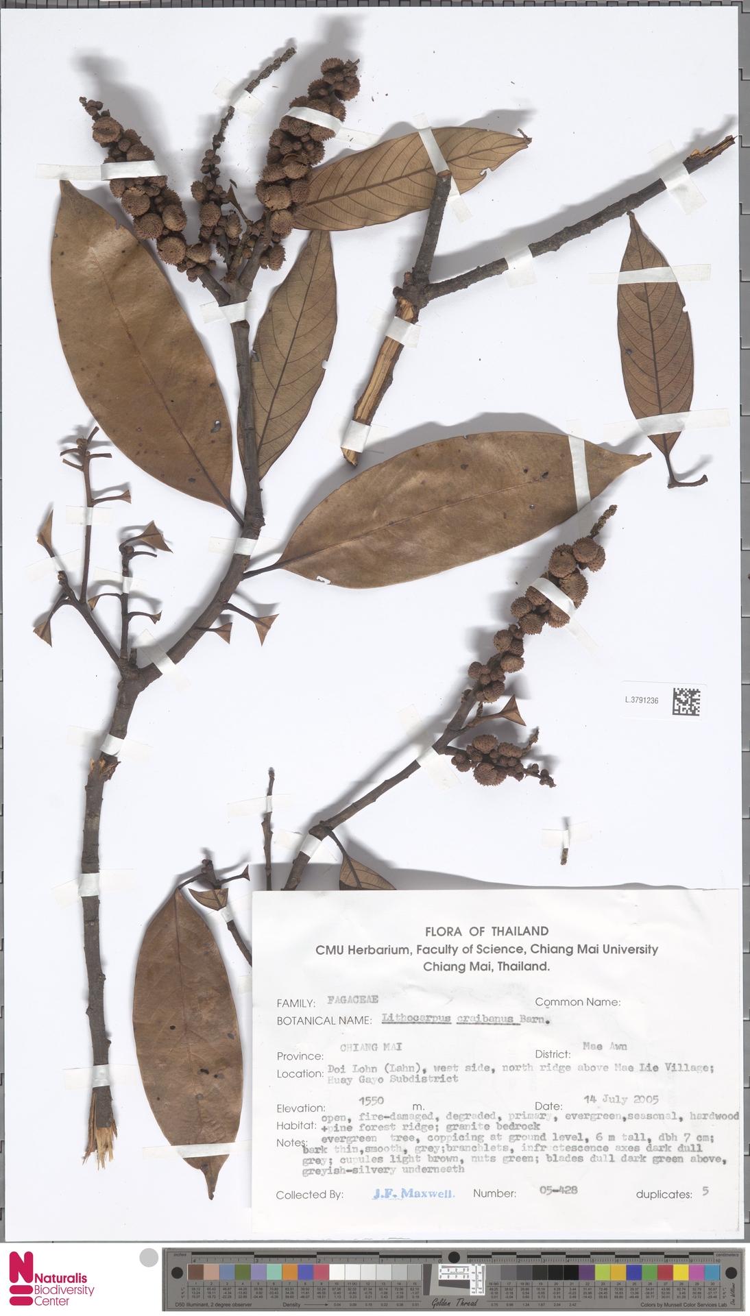 L.3791236 | Lithocarpus craibianus Barnett