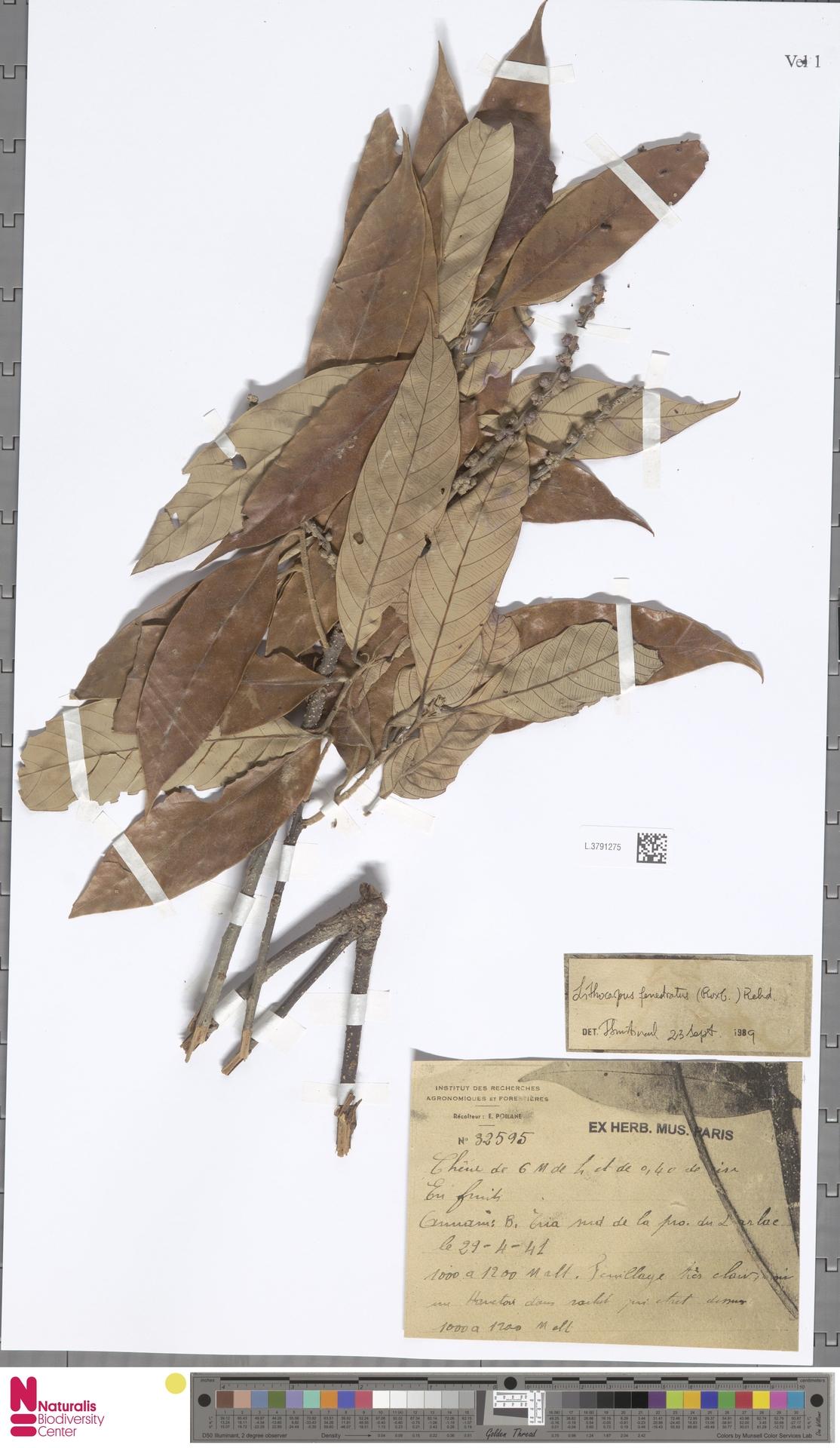 L.3791275   Lithocarpus fenestratus (Roxb.) Rehder