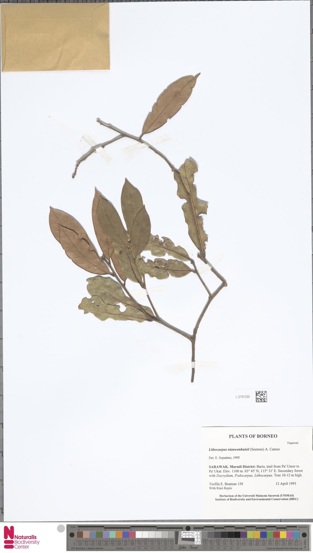 L.3791330 | Lithocarpus nieuwenhuisii (Seem.) A.Camus