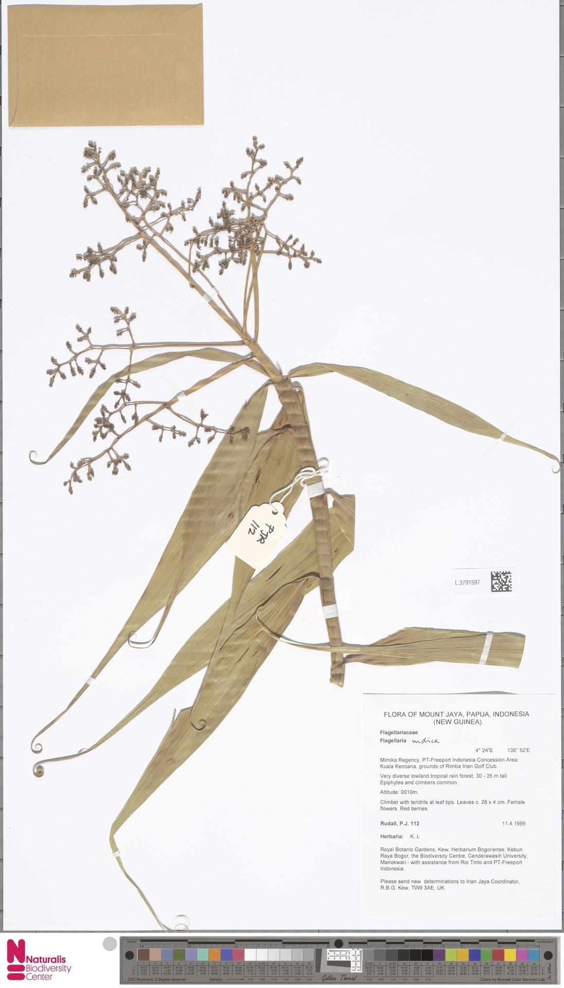L.3791597 | Flagellaria indica L.