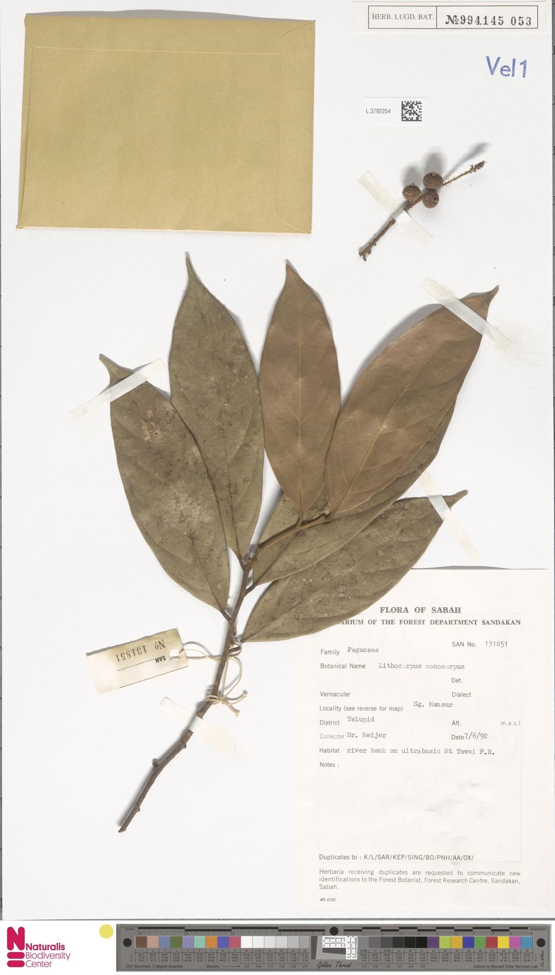 L.3792254 | Lithocarpus conocarpus (Oudem.) Rehder