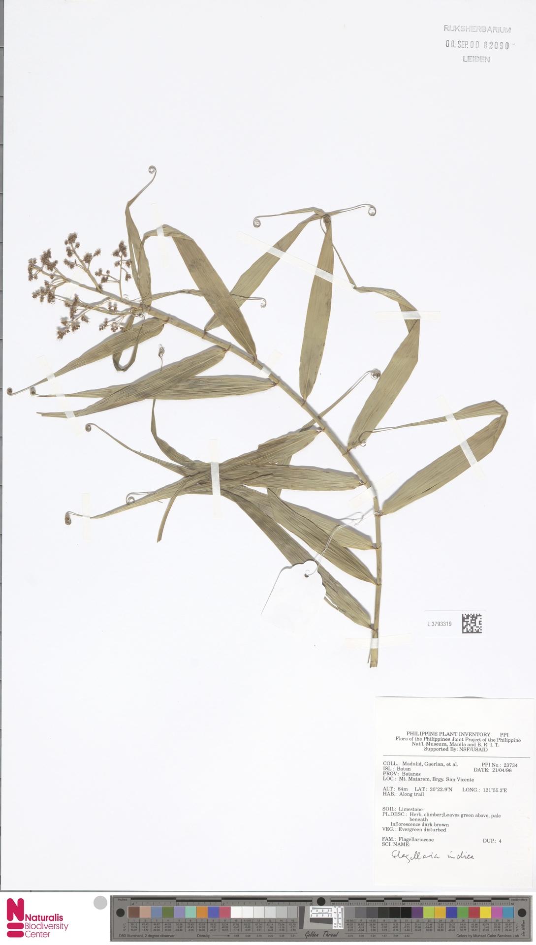 L.3793319 | Flagellaria indica L.