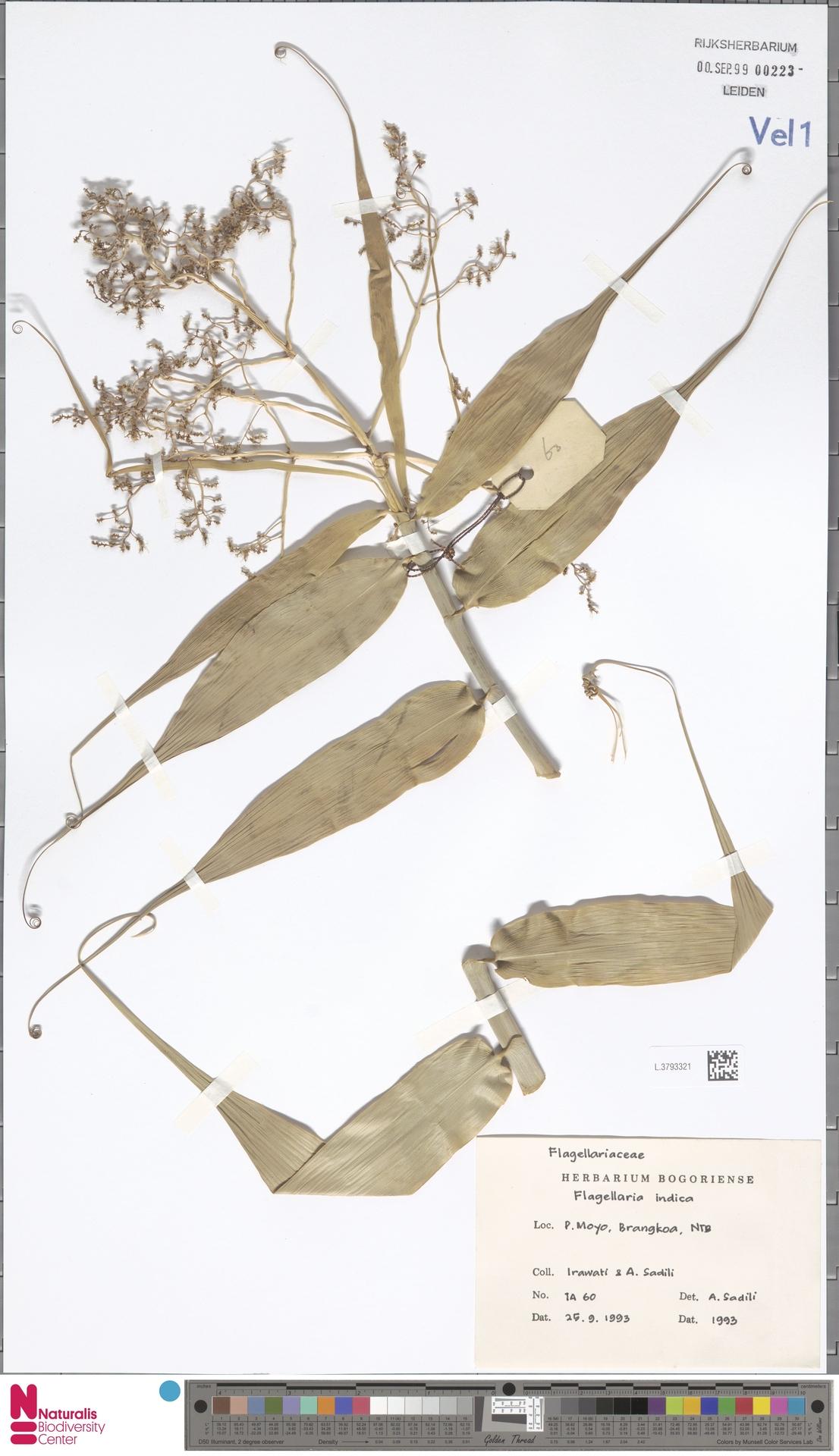 L.3793321 | Flagellaria indica L.