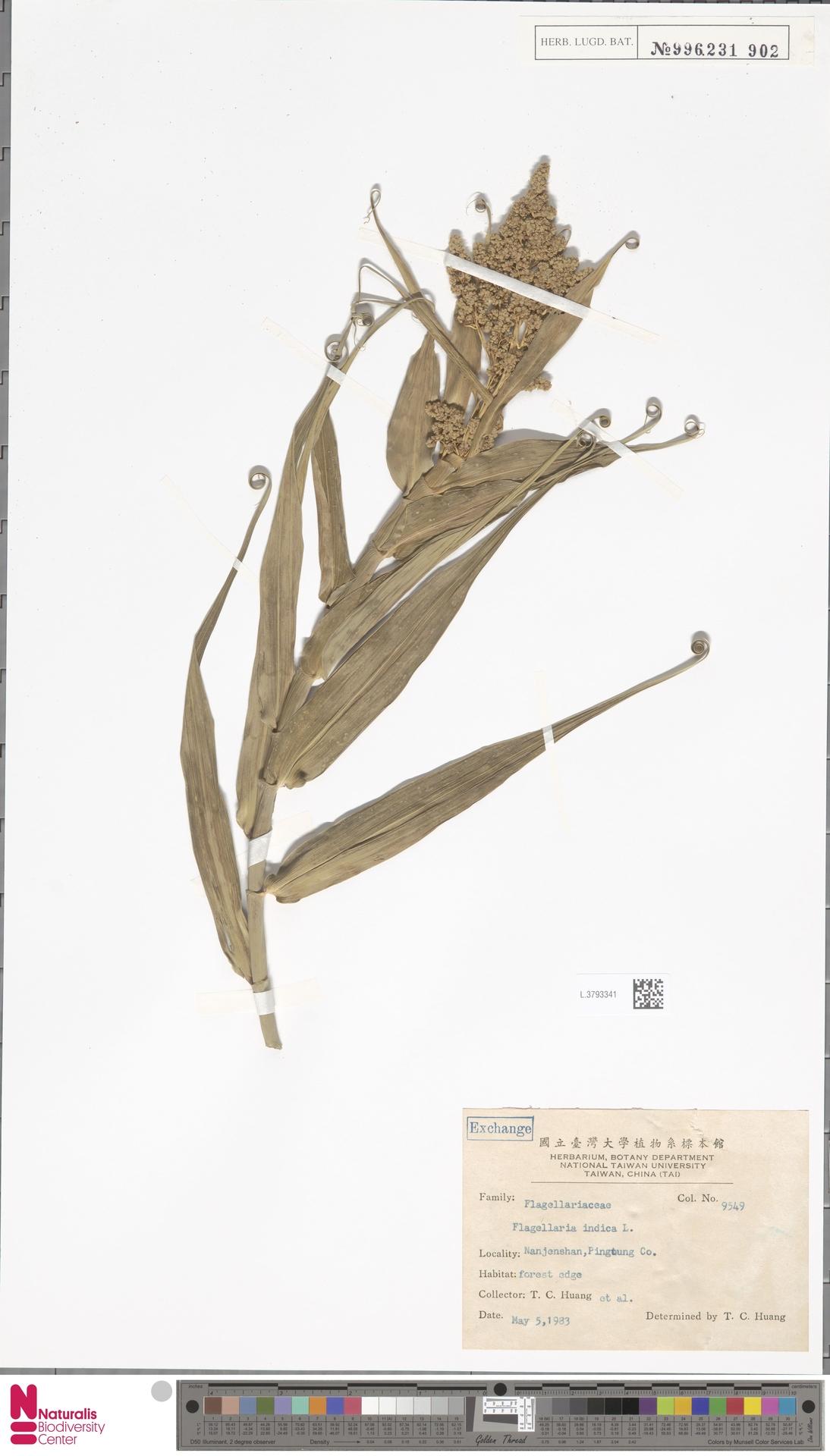 L.3793341 | Flagellaria indica L.