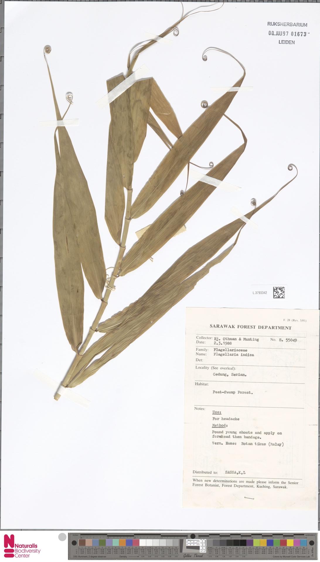 L.3793342 | Flagellaria indica L.