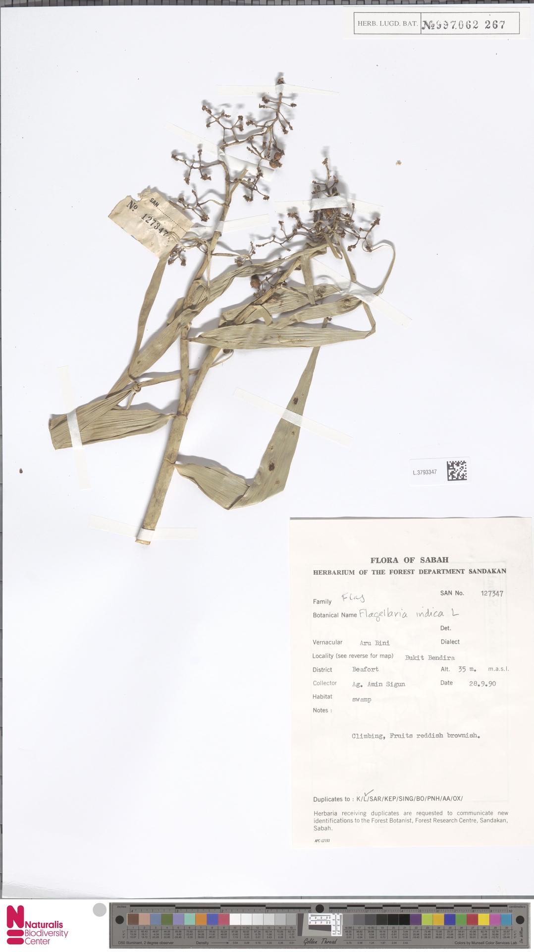 L.3793347 | Flagellaria indica L.
