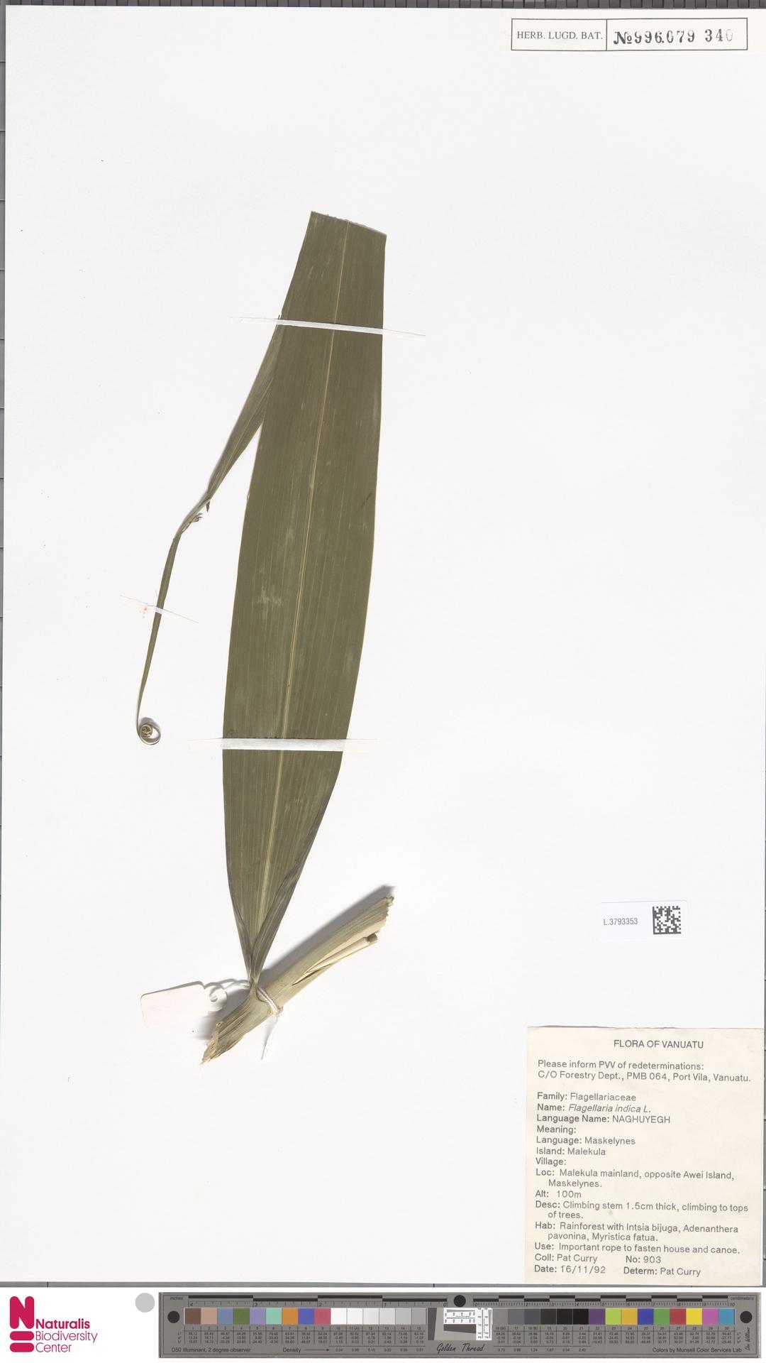 L.3793353 | Flagellaria indica L.