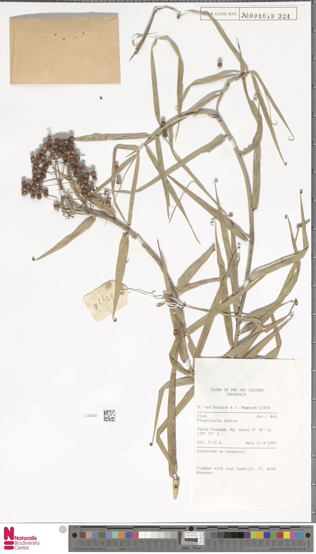 L.3793361 | Flagellaria indica L.