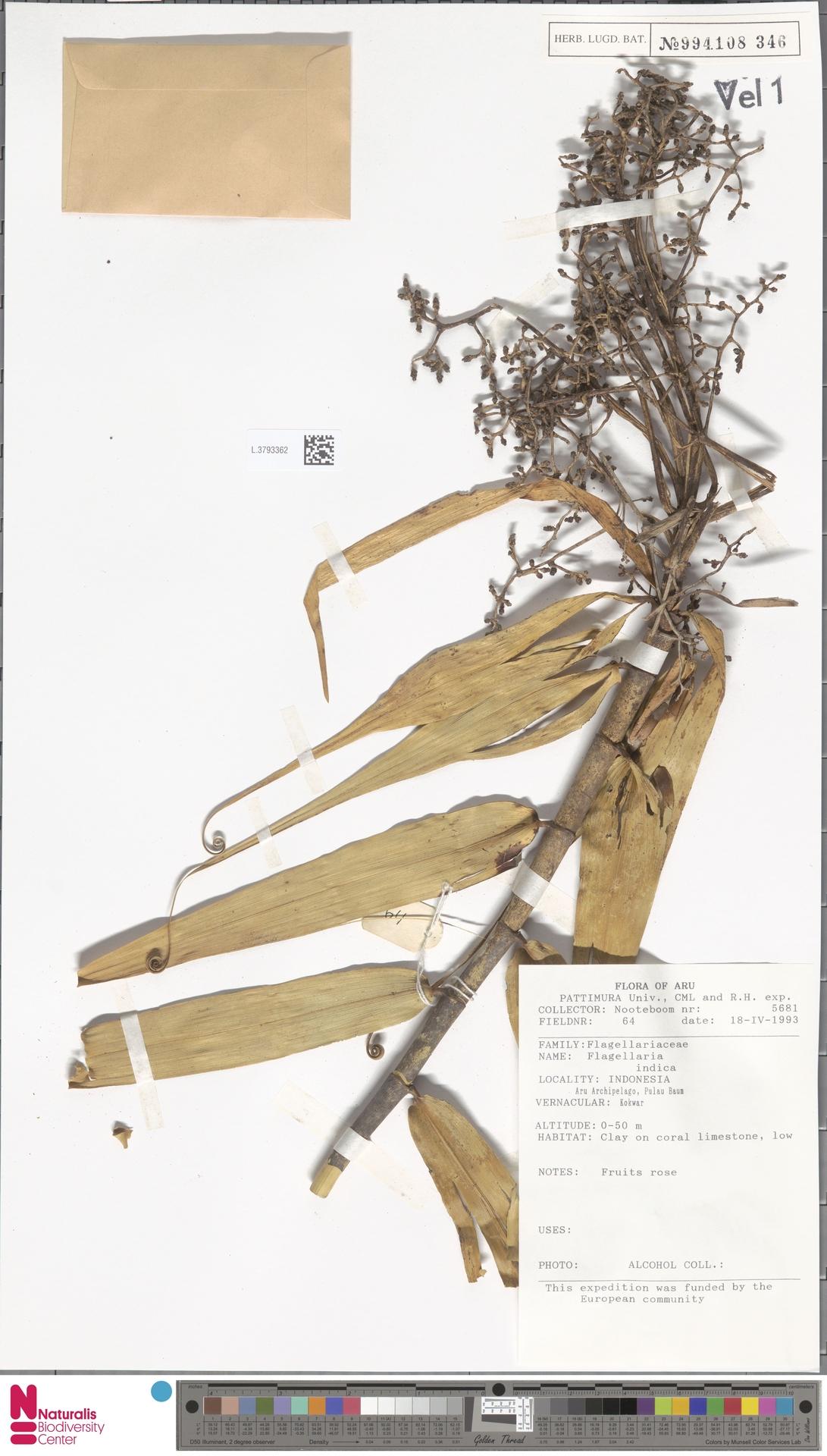 L.3793362 | Flagellaria indica L.