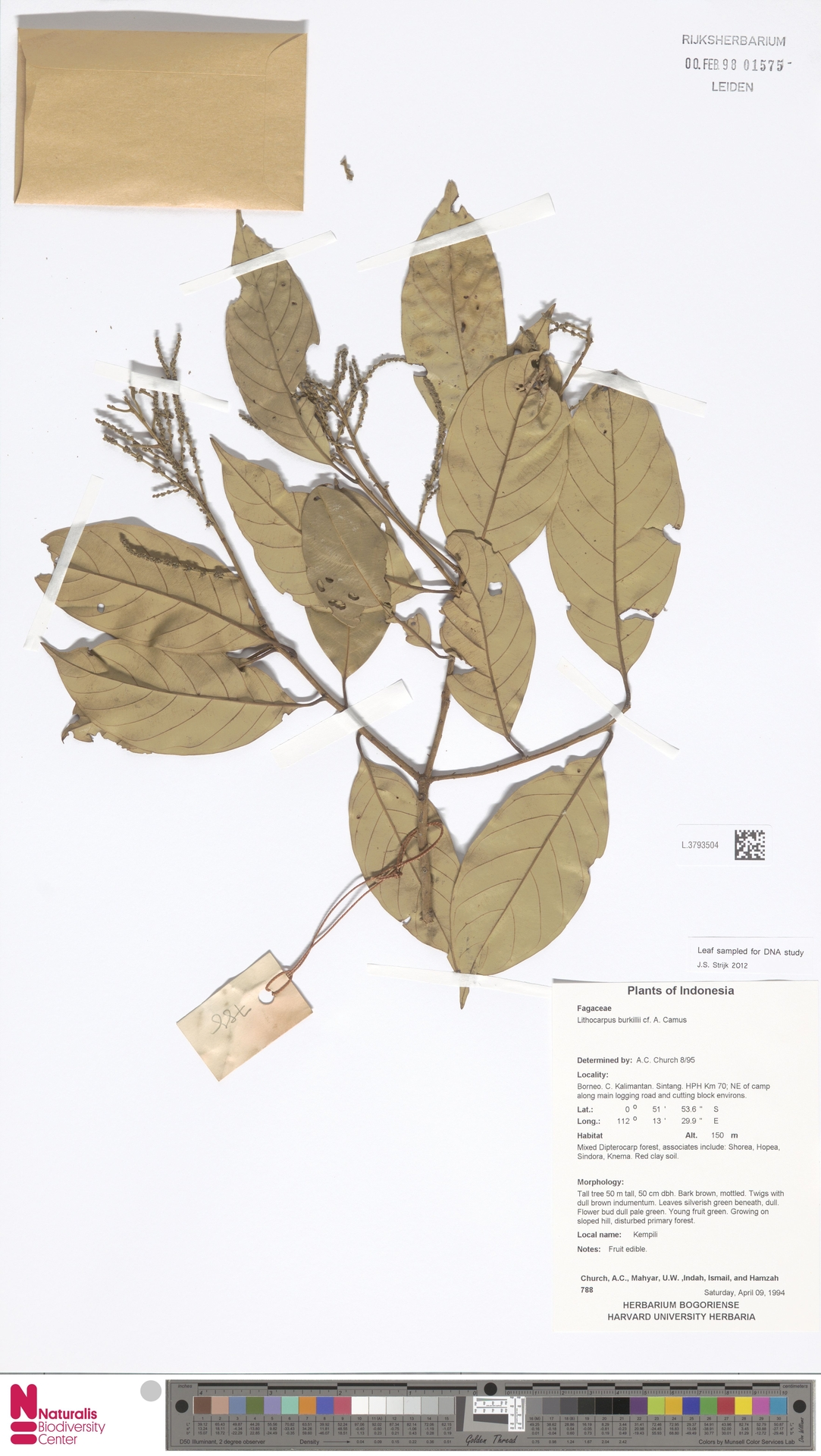 L.3793504   Lithocarpus burkillii A.Camus
