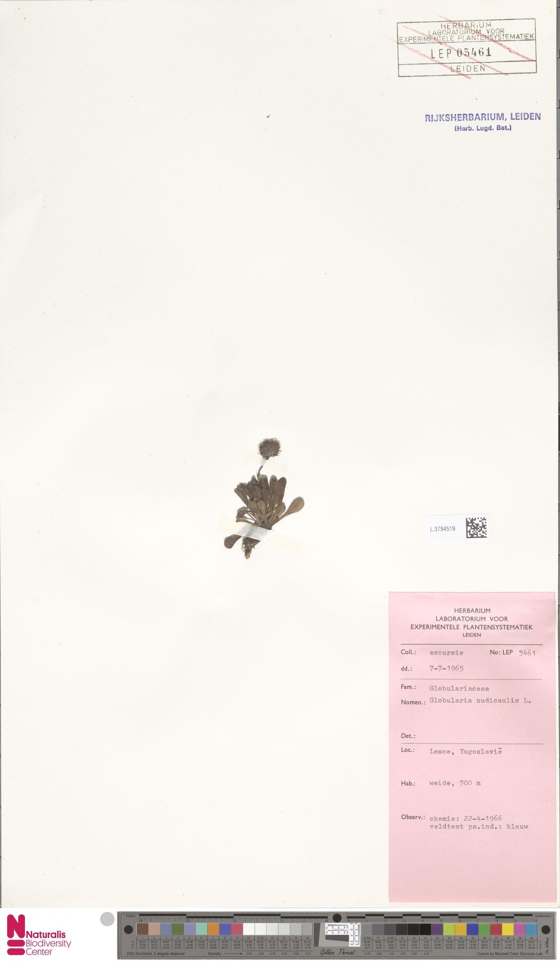 L.3794519 | Globularia nudicaulis L.