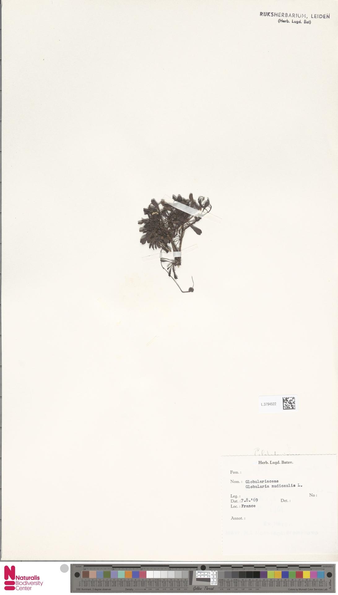 L.3794522 | Globularia nudicaulis L.