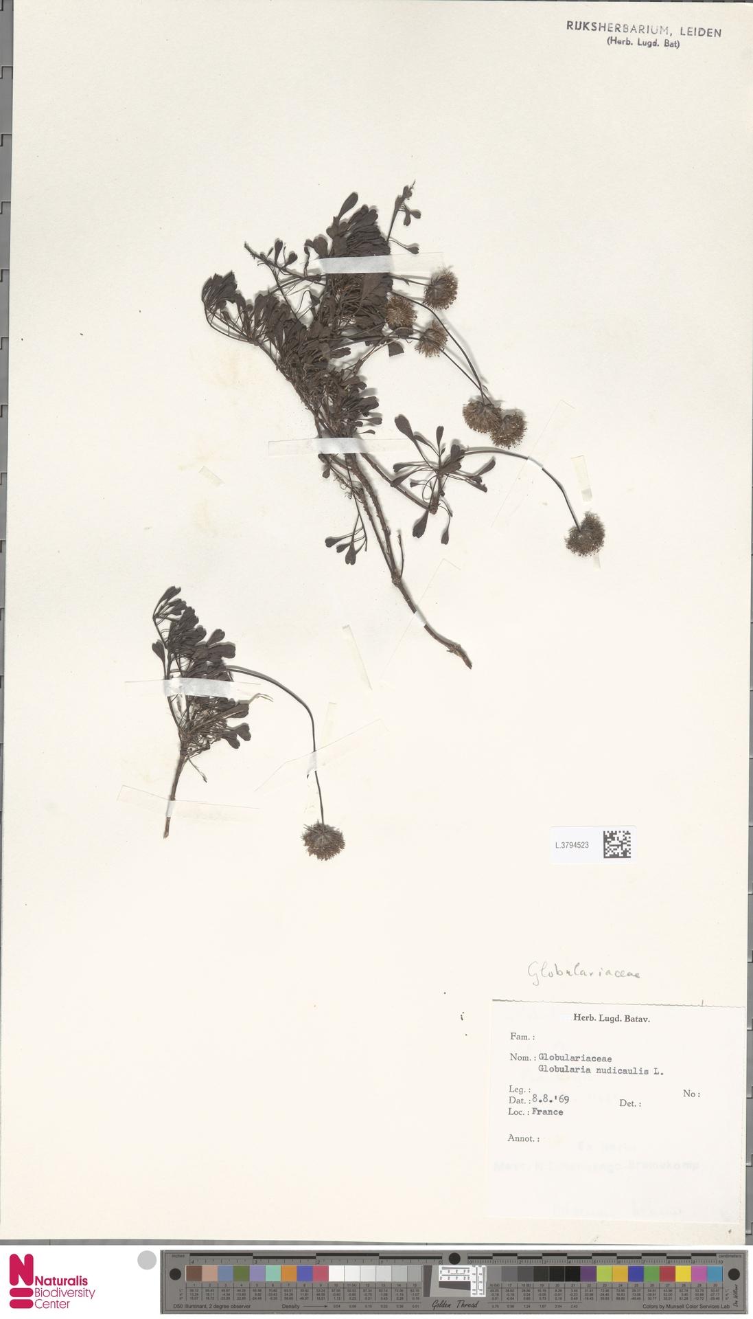 L.3794523 | Globularia nudicaulis L.