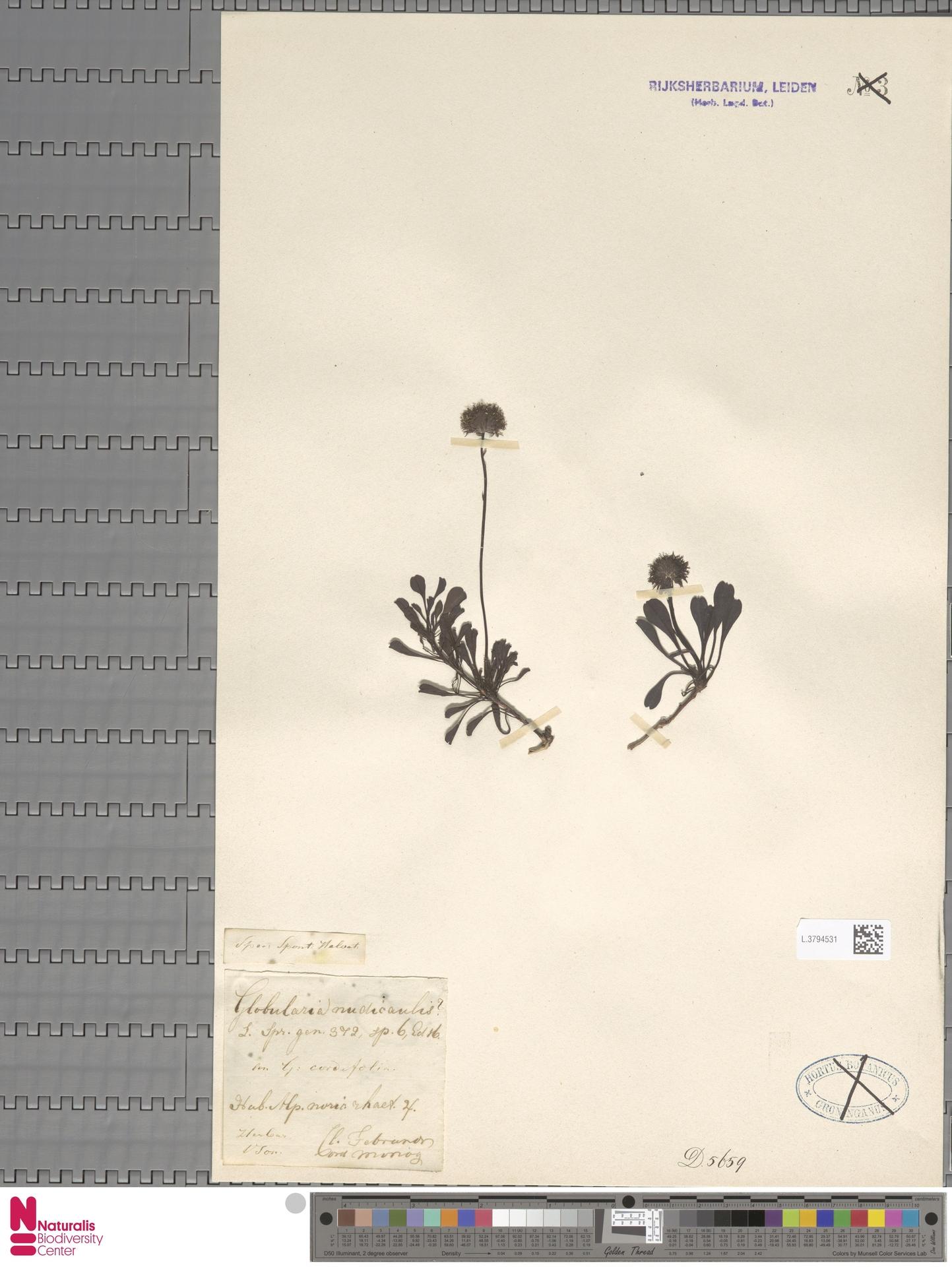 L.3794531 | Globularia nudicaulis L.