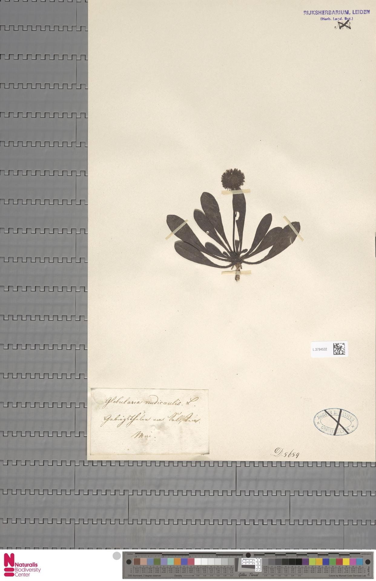 L.3794532 | Globularia nudicaulis L.