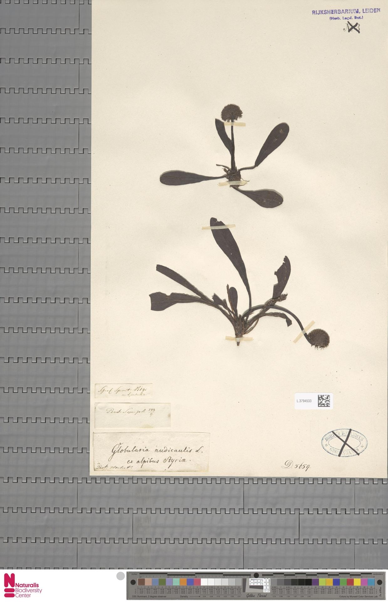 L.3794533 | Globularia nudicaulis L.