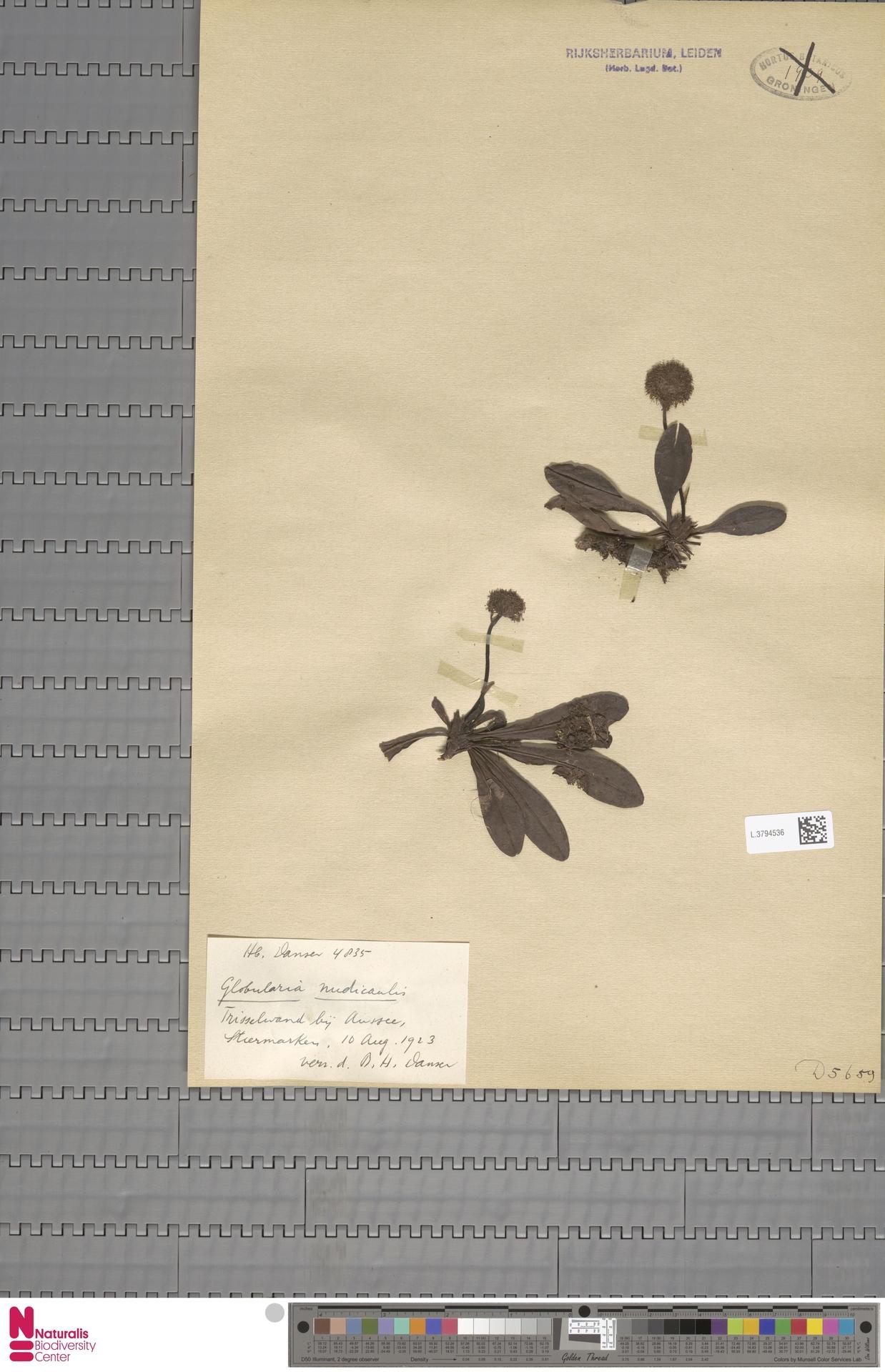 L.3794536 | Globularia nudicaulis L.