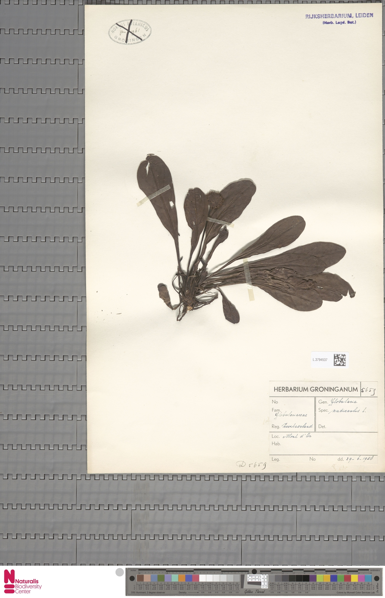 L.3794537   Globularia nudicaulis L.