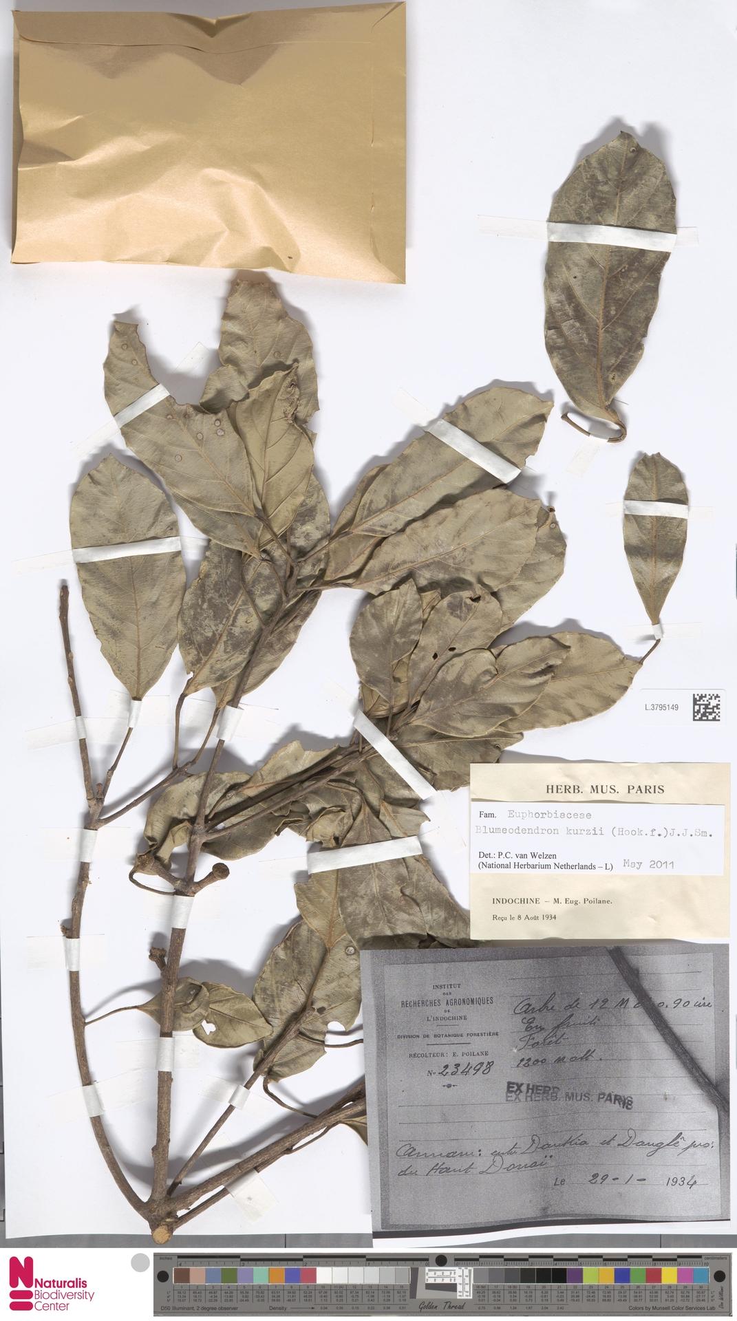 L.3795149   Blumeodendron kurzii (Hook.f.) J.J.Sm.